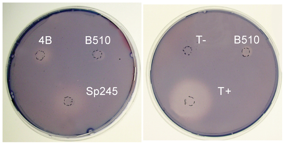 Cellulolytic activity of <i>A. brasilense</i> Sp245 cells.