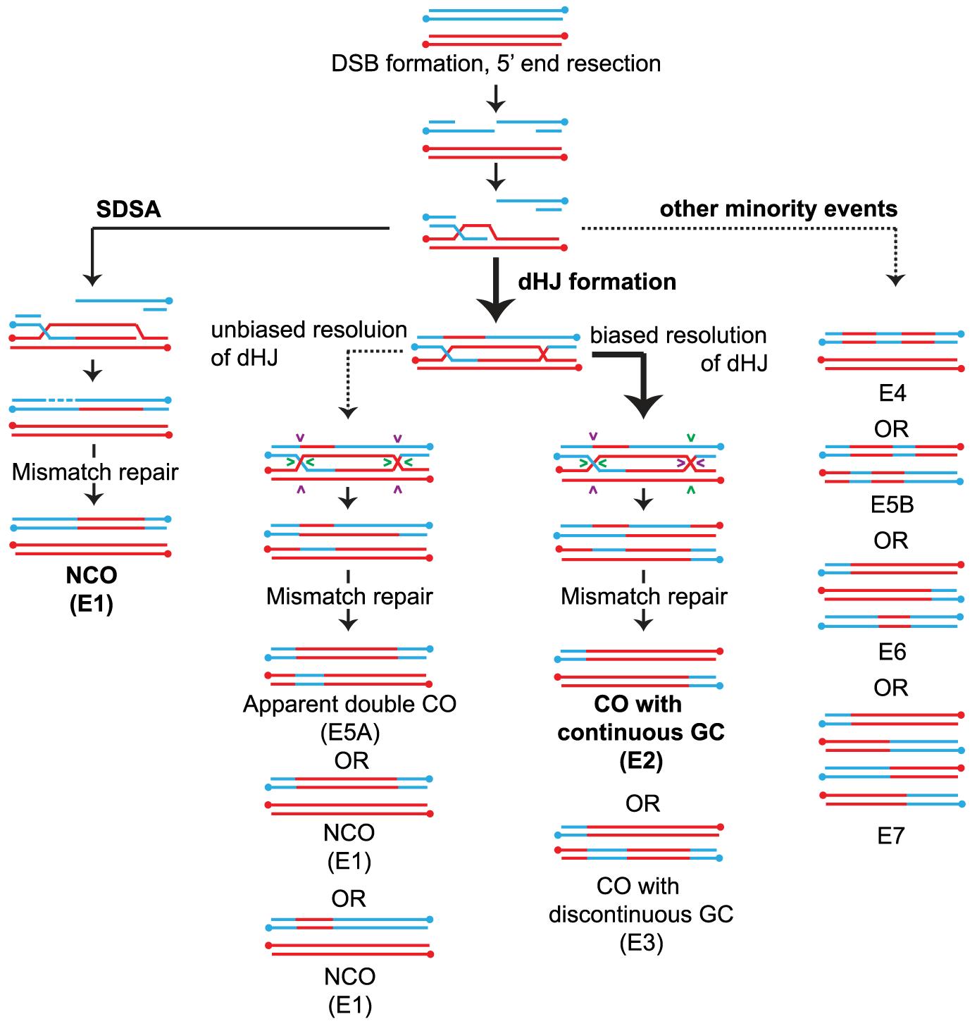Overview of meiotic recombination pathways.