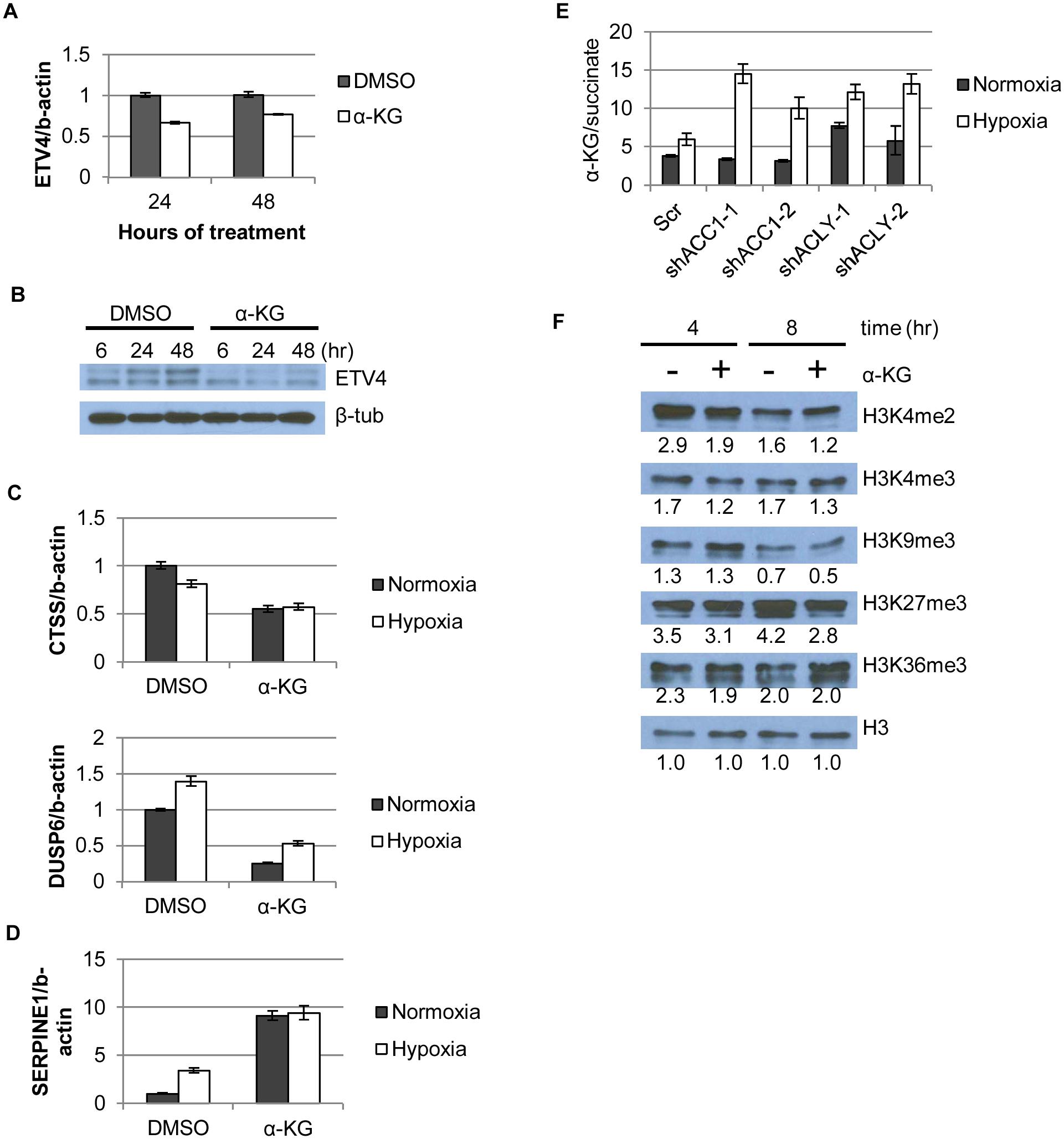 α-KG regulates ETV4 mRNA levels and activity through epigenetic changes.