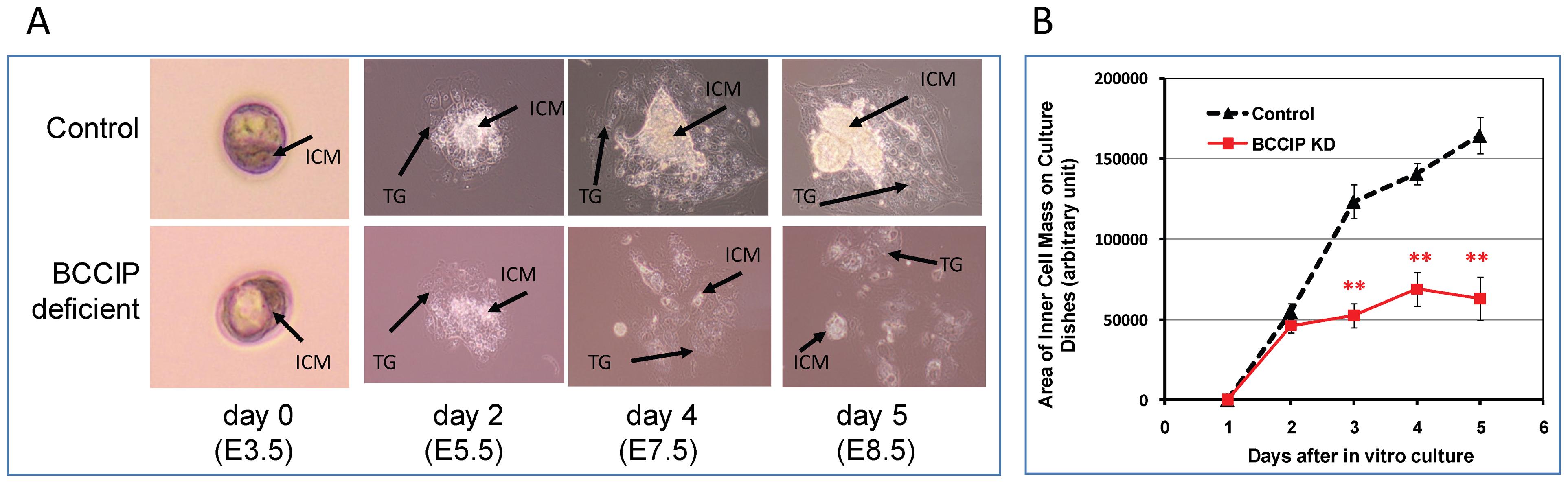 Proliferation defects of BCCIP-deficient blastocysts.