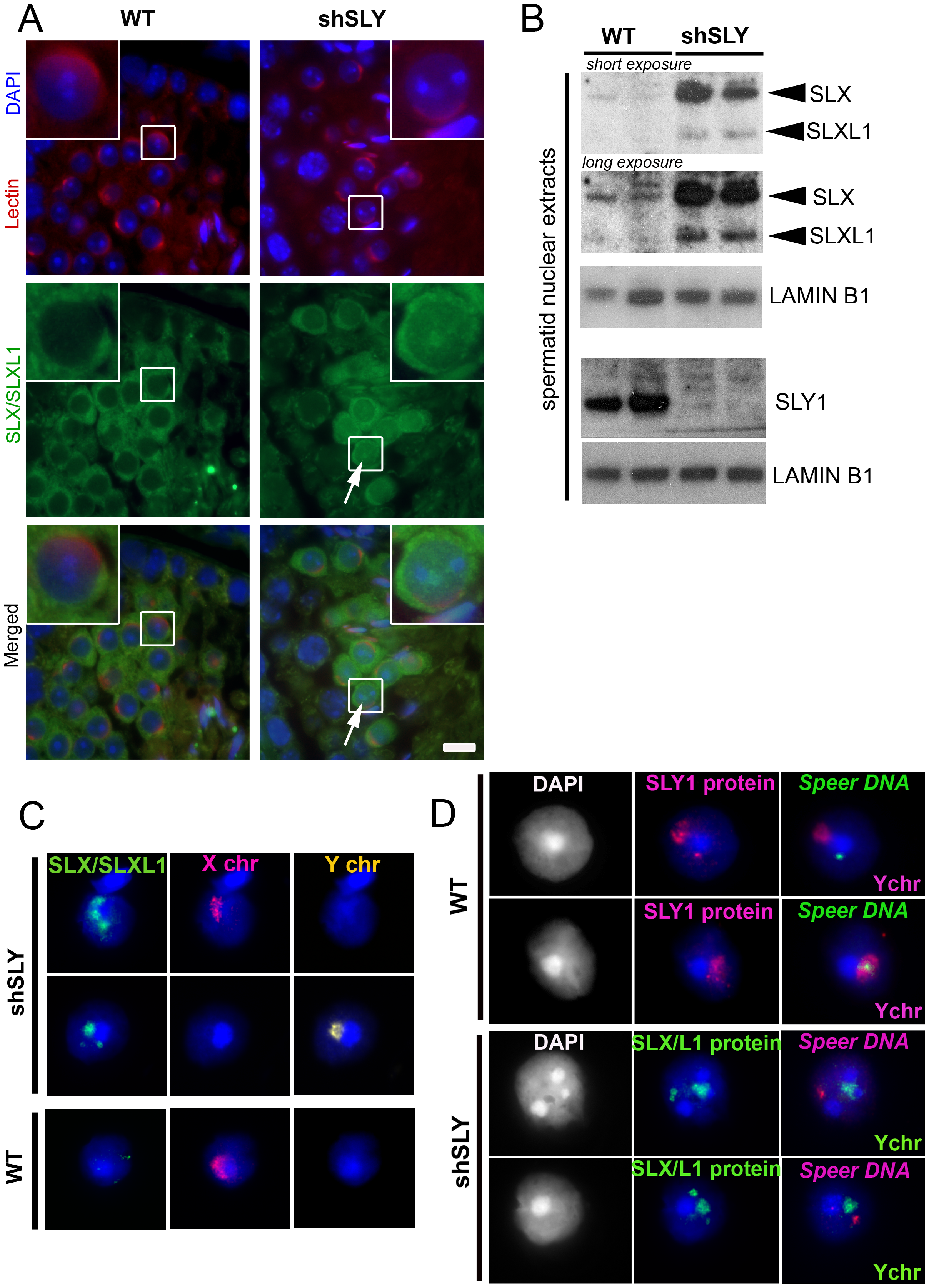 SLX/SLXL1 proteins behave similarly to SLY in its absence.