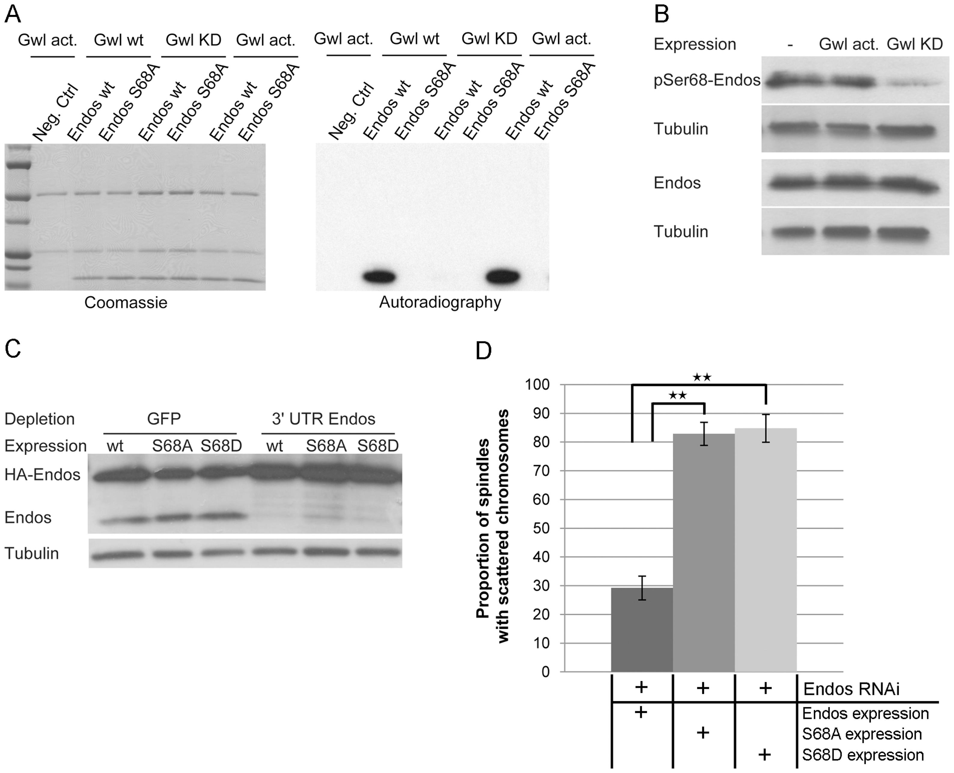 Greatwall phosphorylates Endos at Ser68.