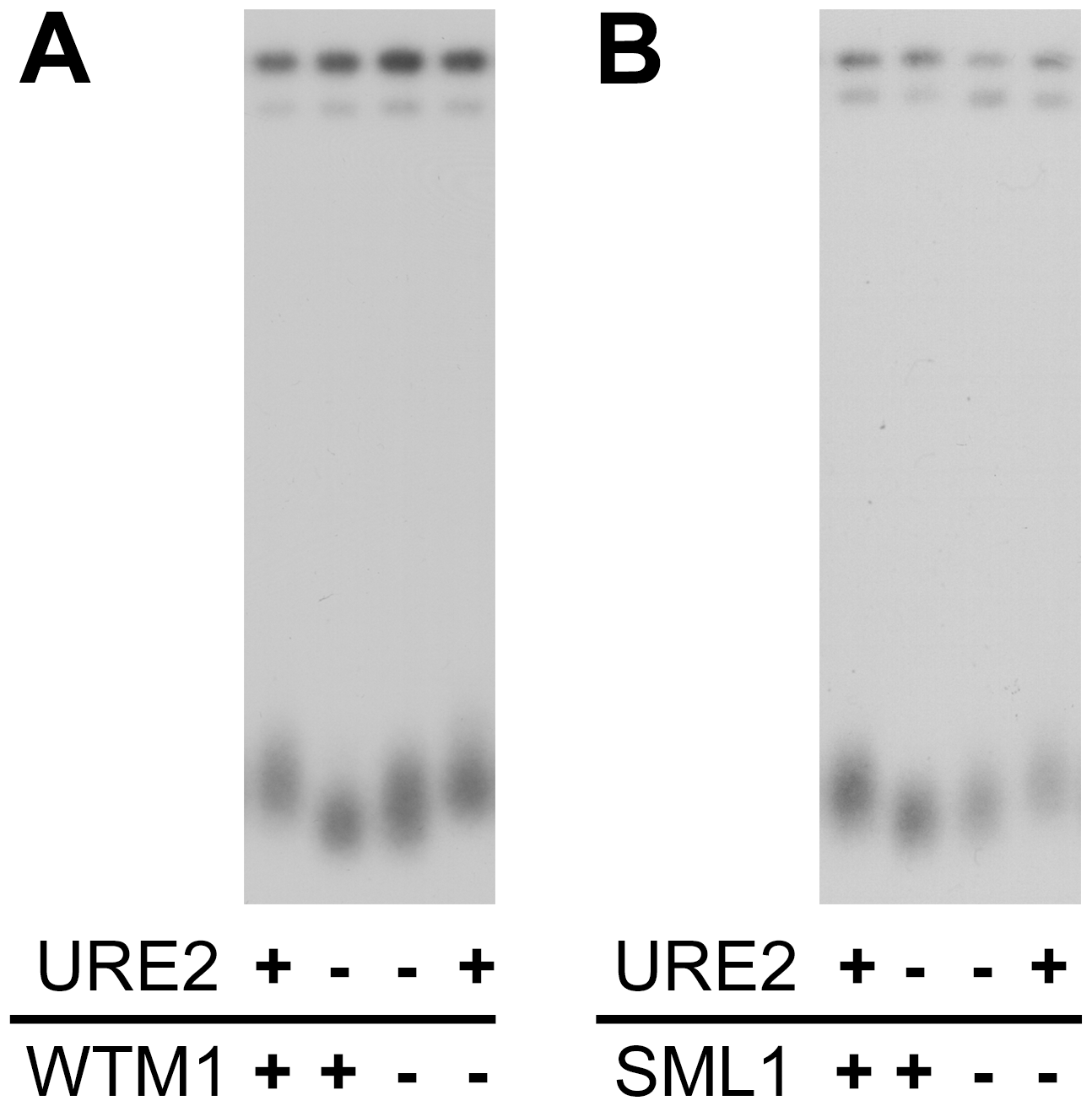 Removal of ribonucleotide reductase inhibition alleviates the short telomere phenotype in strains lacking URE2.