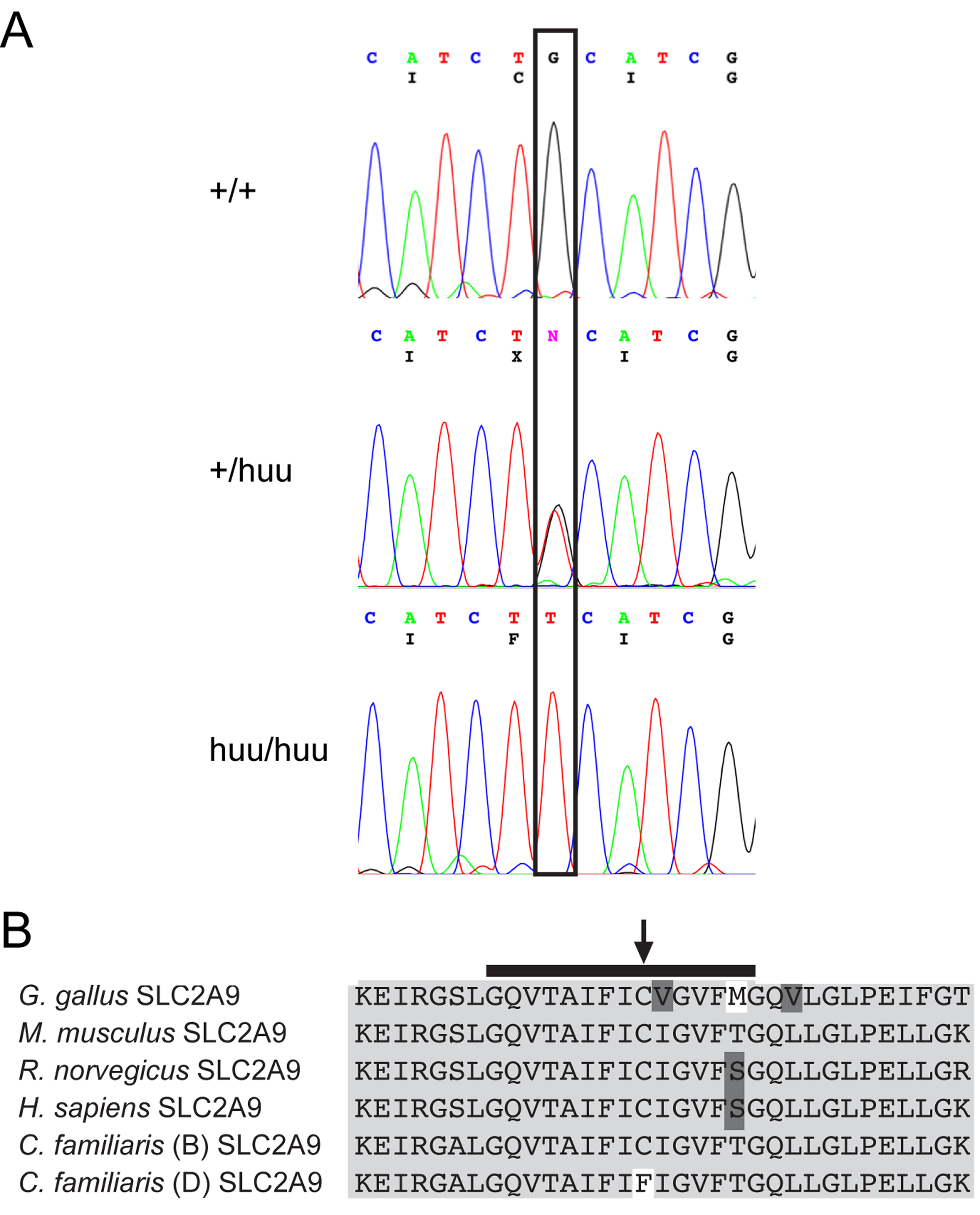Sequence and expression of canine SLC2A9.