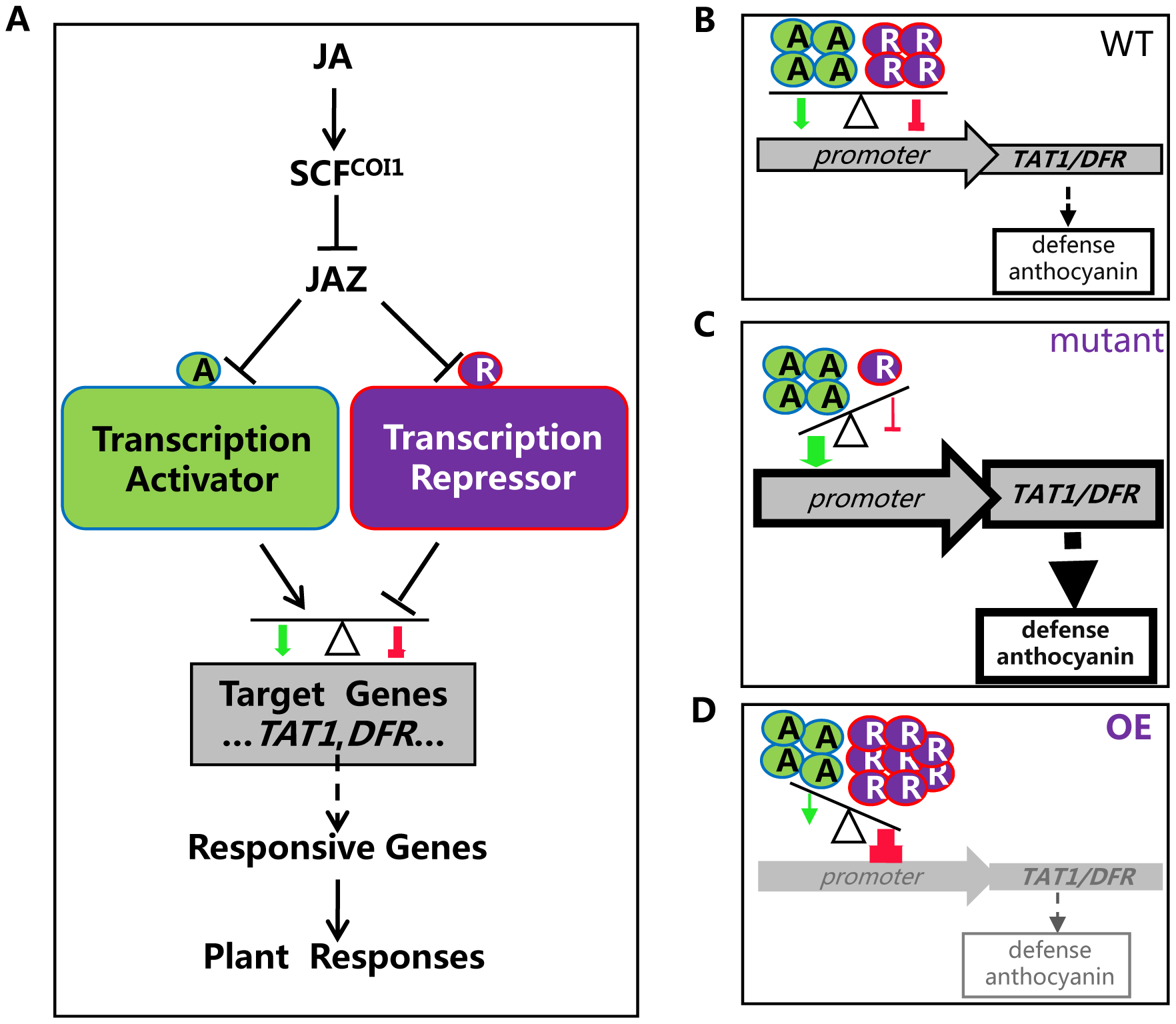 A simplified model for coordinated regulation of JA responses by JAZ-targeted transcription activators and transcription repressors.