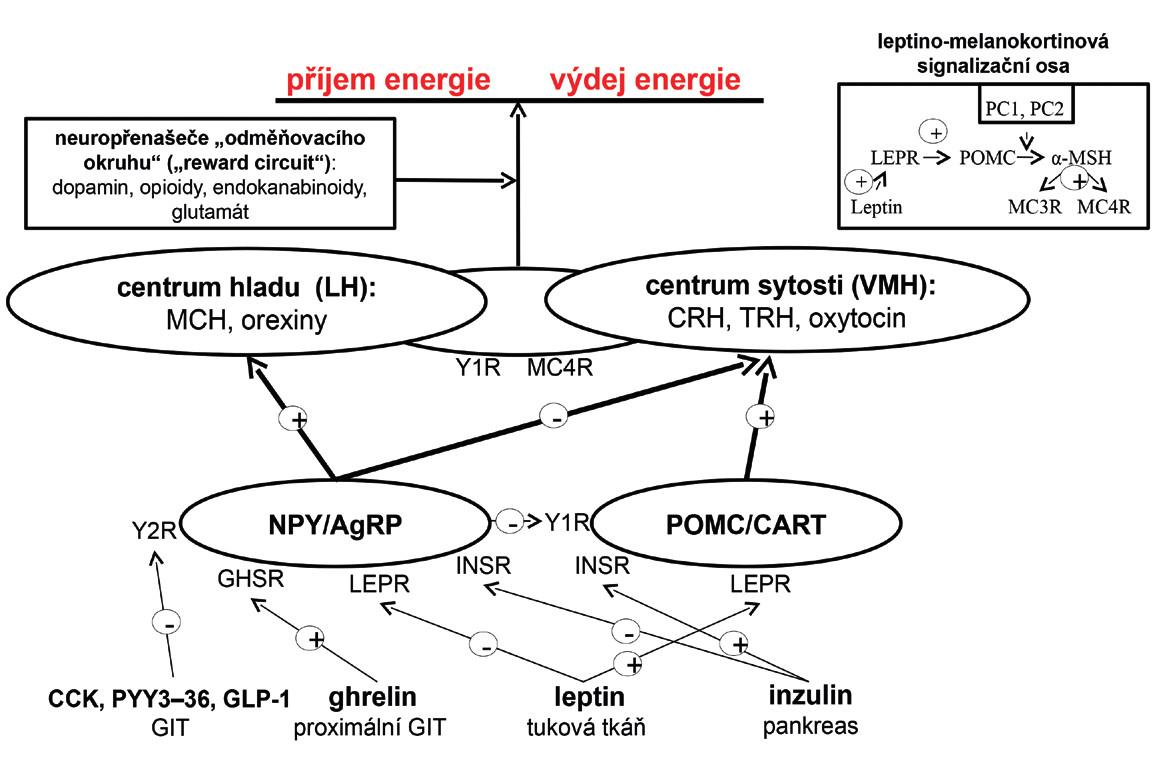 Regulace energetické bilance v lidském organismu (viz text) AgRP – agouti-related peptide; CART – cocaine-amphetamine related transcript, CCK –  cholecystokinin; GHSR – growth hormone secretagogue receptor; GIT – gastrointestinální trakt,  GLP-1 – glucagon-like peptide-1; INSR – inzulinový receptor; LH – laterální hypothalamus; LEPR – leptinový receptor; MCH – melanin koncentrující hormon; MC3R – melanokortinový receptor 3. typu; MC4R – melanokortinový receptor 4. typu; MSH – melanostimulující hormon; PC1 – prohormon konvertáza 1; POMC – proopiomelanokortin; PYY<sub>3–36</sub> – peptid YY<sub>3–36</sub>, VMH – ventromediální hypothalamus; Y1R – Y1 receptor; Y2R – Y2 receptor