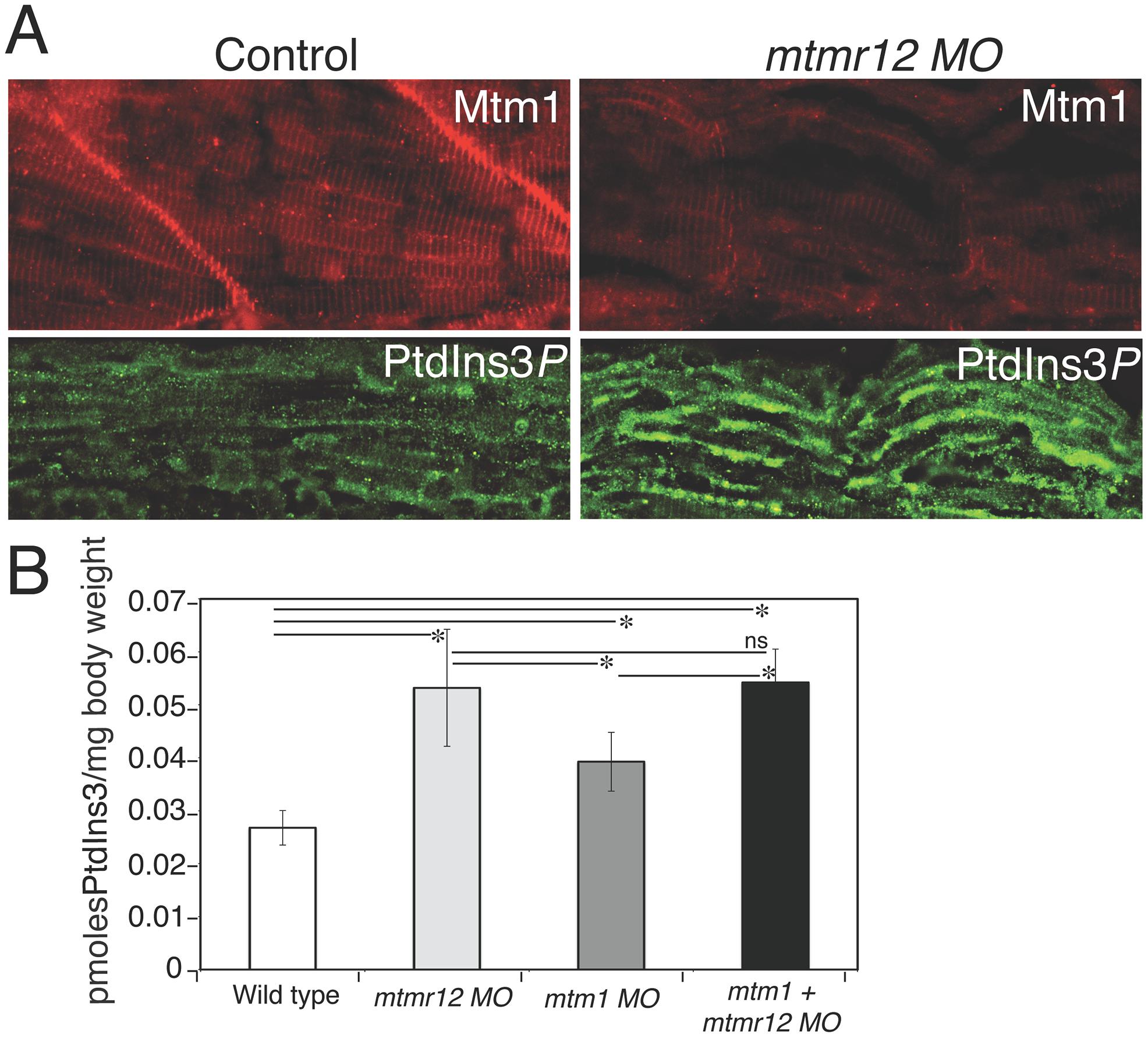 Myotubularin and PtdIns3<i>P</i> alterations in <i>mtmr12</i> morphants.