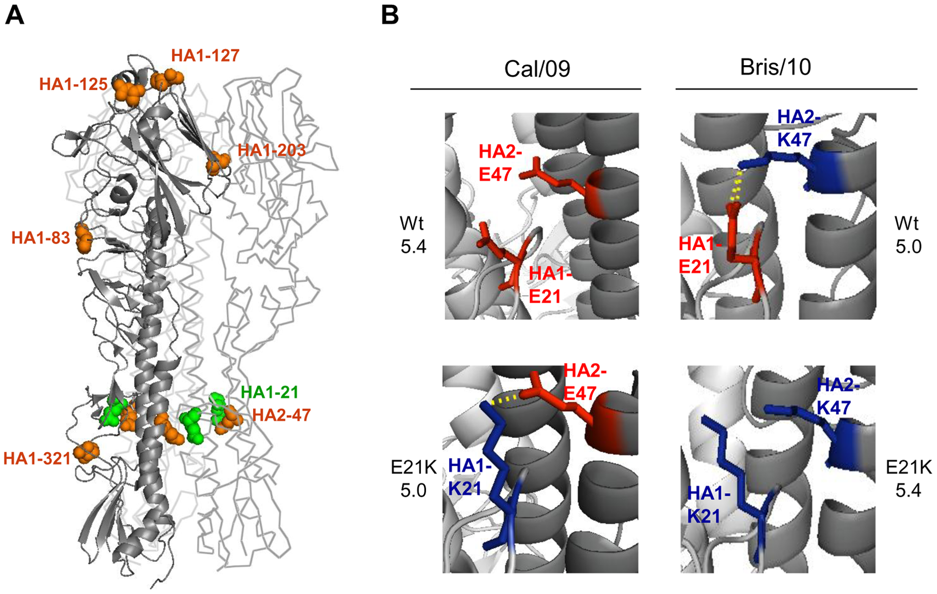 An inter-monomer interaction between the HA residues HA1-21 and HA2-47 determines the threshold pH for fusion.