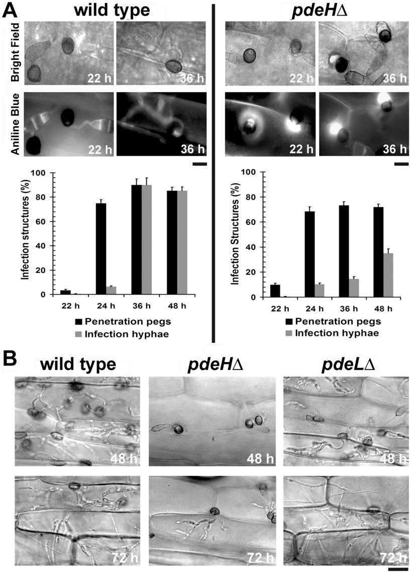 The <i>pdeH</i>Δ mutant is defective in its ability to colonize the host tissue.