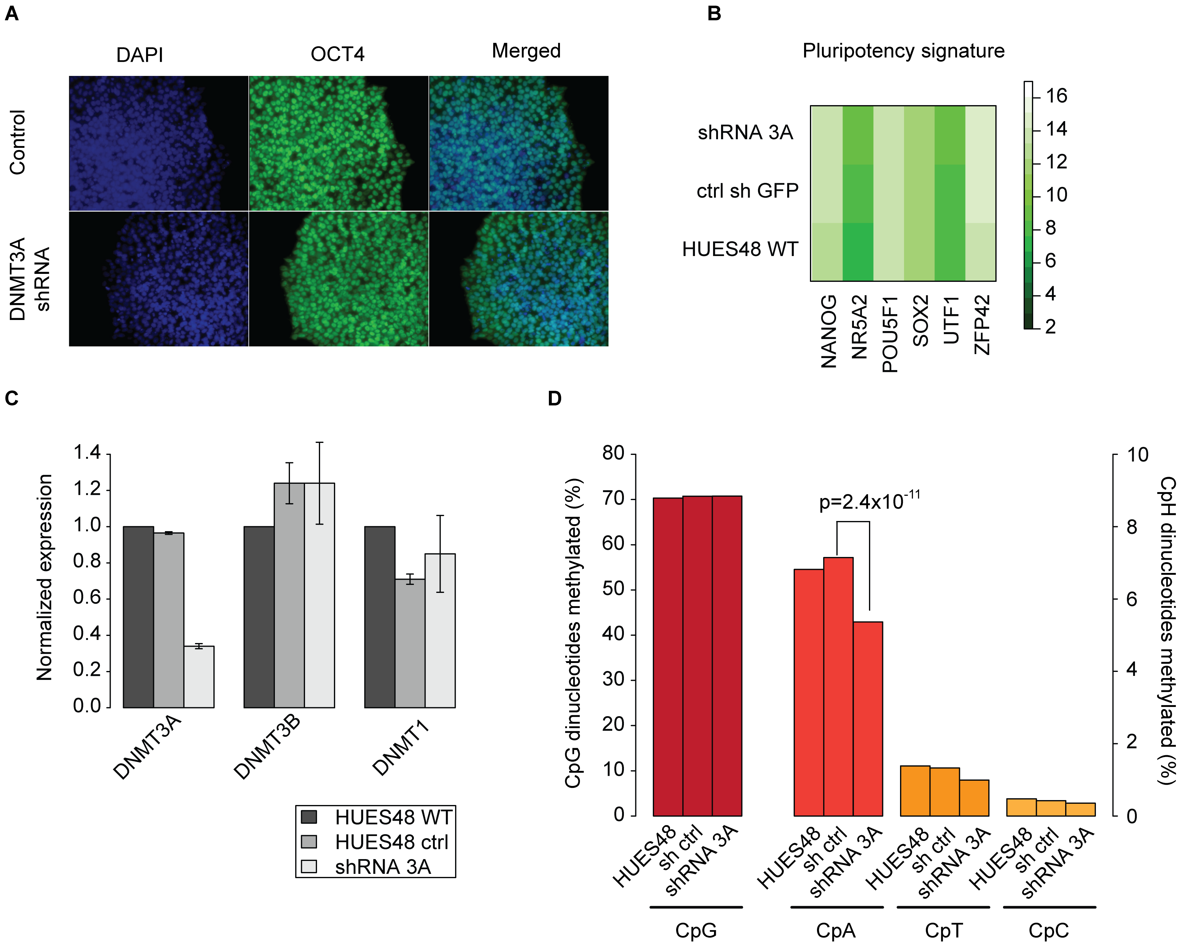 Knockdown of DNMT3A in hESCs causes global reduction of non-CpG methylation.