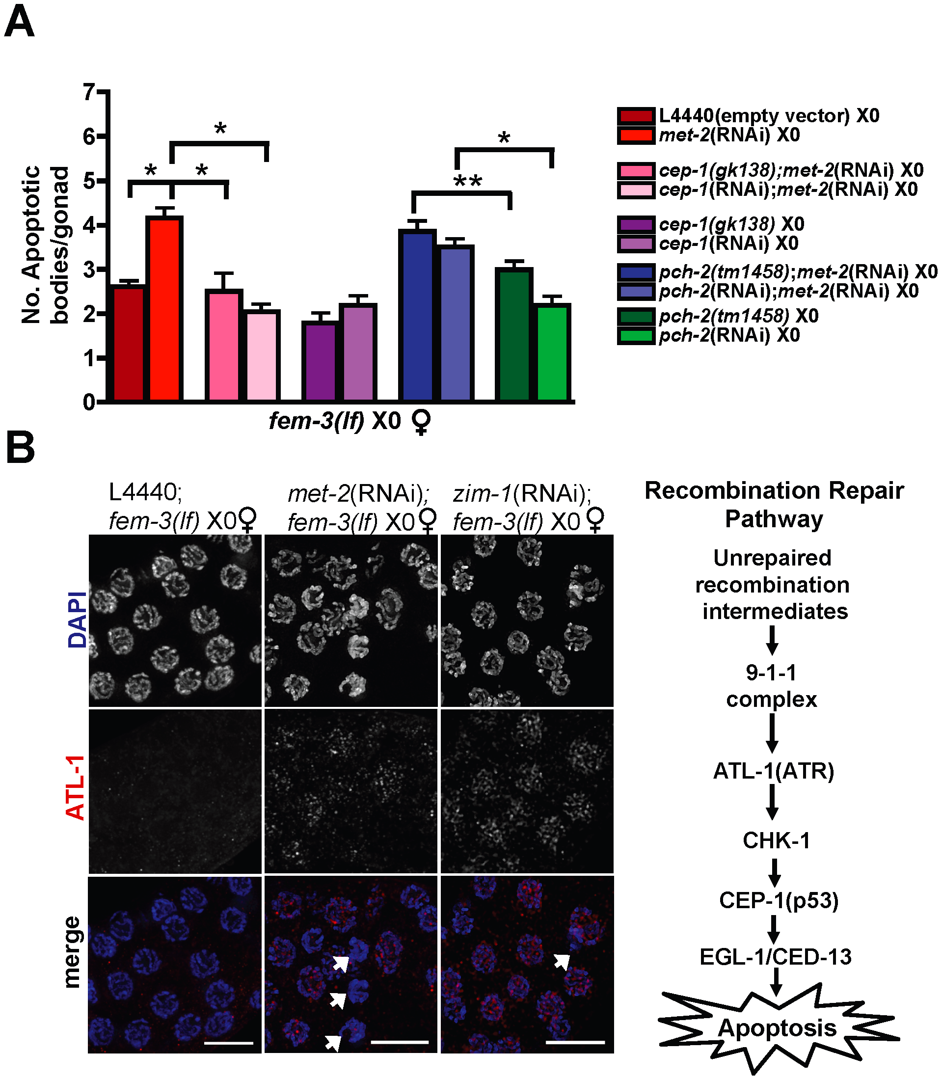 Absence of MET-2 triggers the recombination checkpoint in worms with a single X.