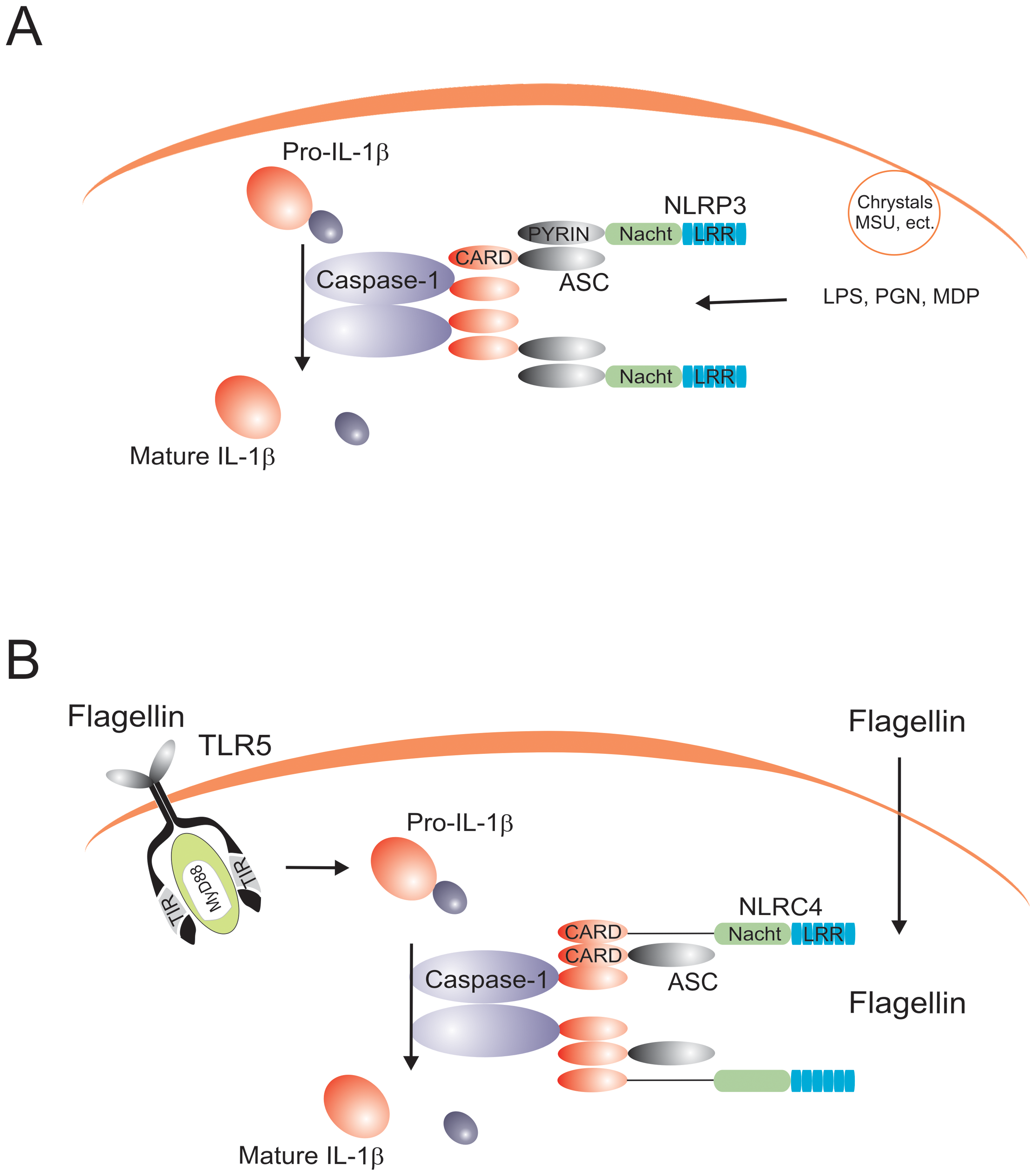 The prototypical NLRP3 and NLRC4 inflammasomes.