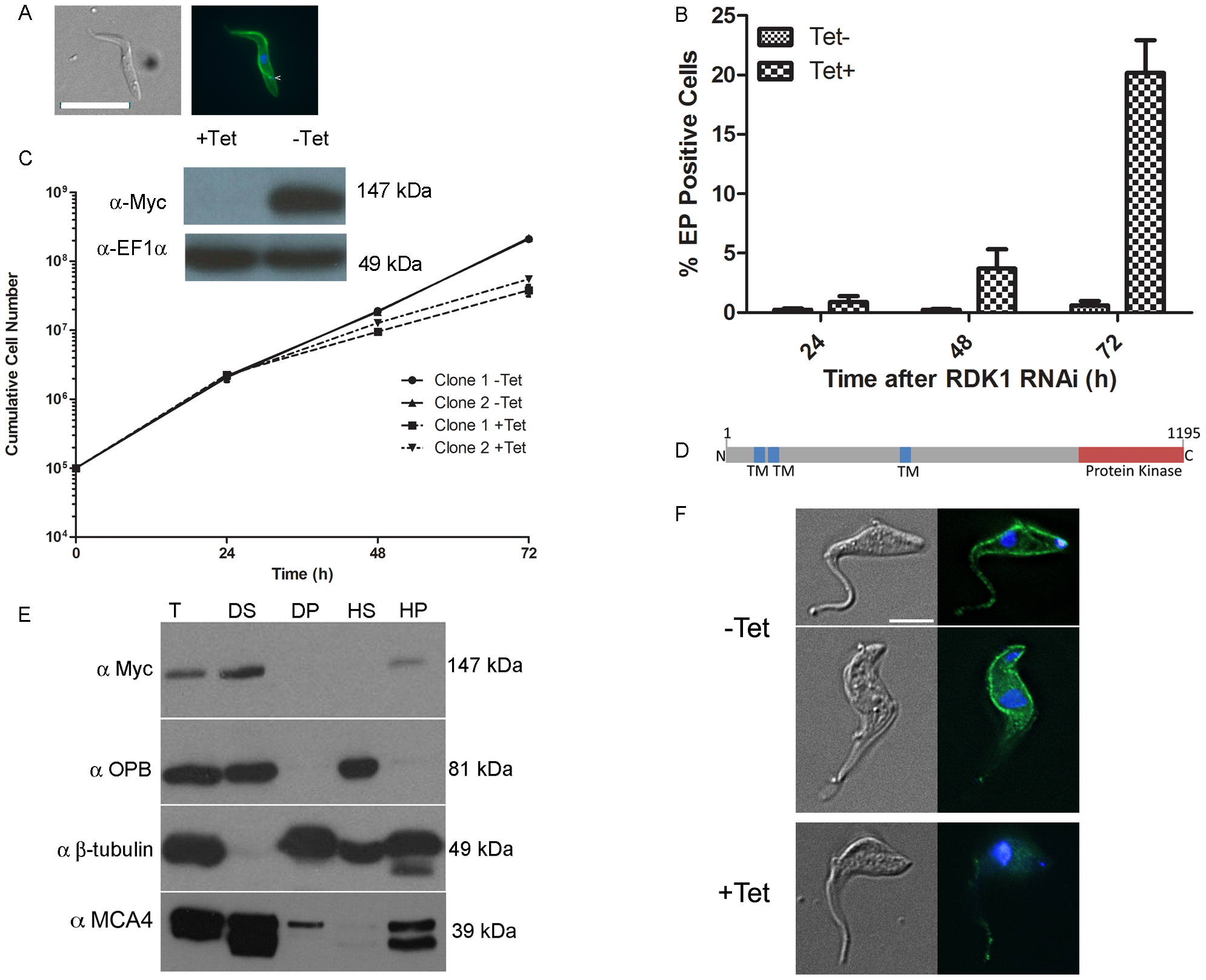 RDK1 is a repressor of BSF to PCF differentiation.