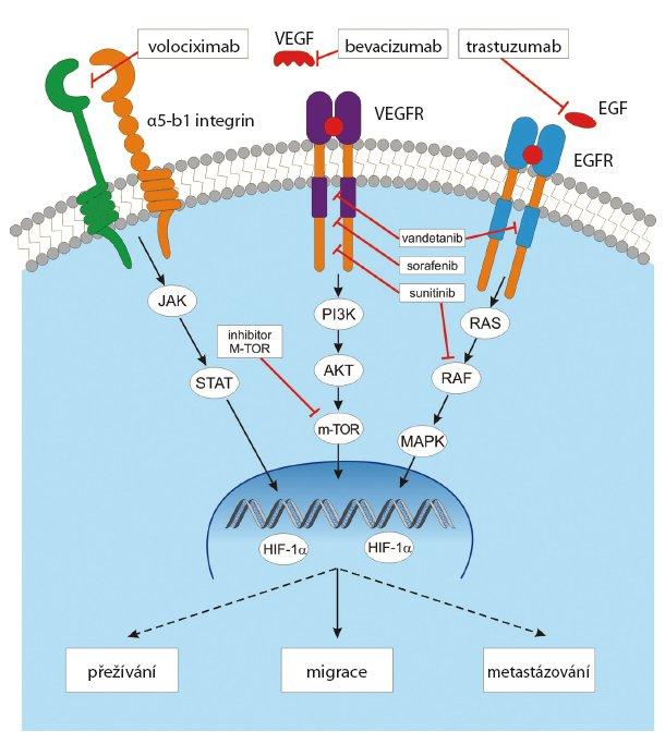 Signální dráha VEGF a možnosti její inhibice.