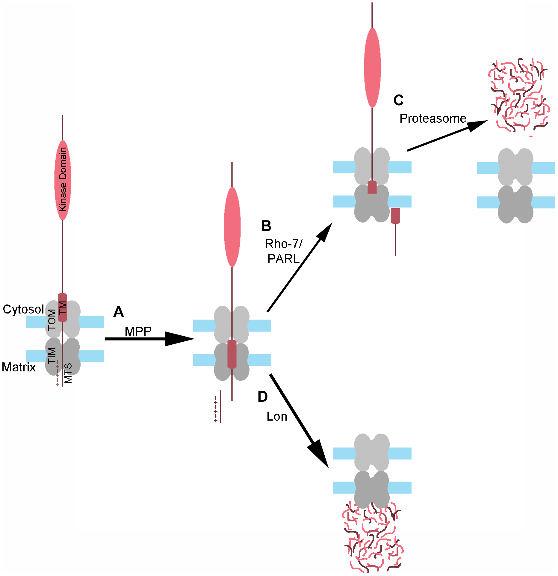 Model of PINK1 processing and degradation.