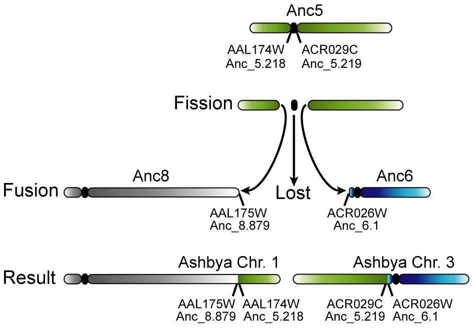 Loss of a centromere in <i>A. gossypii</i> by the breakage of a chromosome at its centromere.