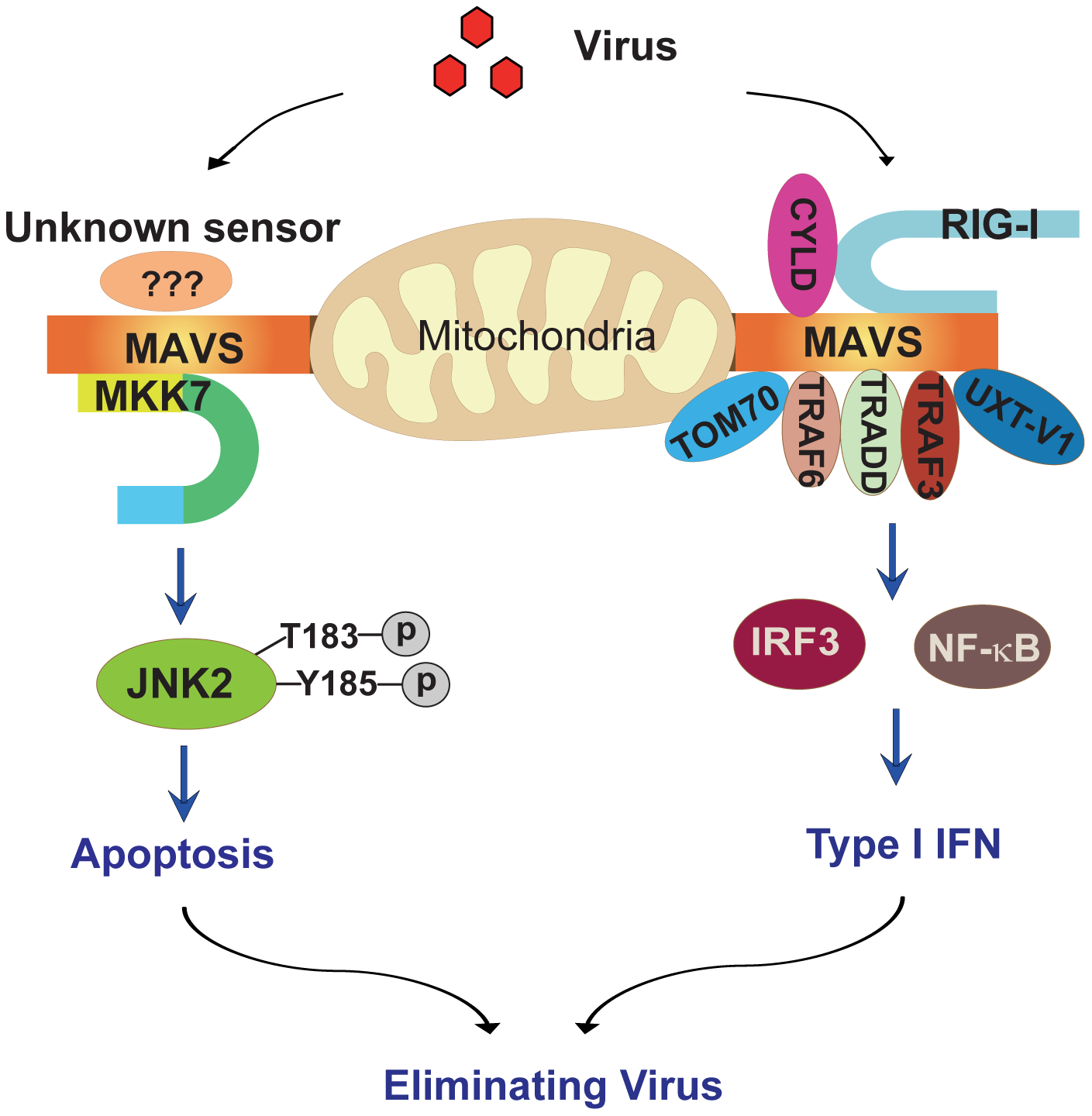 Schematic diagram of the MAVS-MKK7-JNK2 apoptosis signaling pathway.