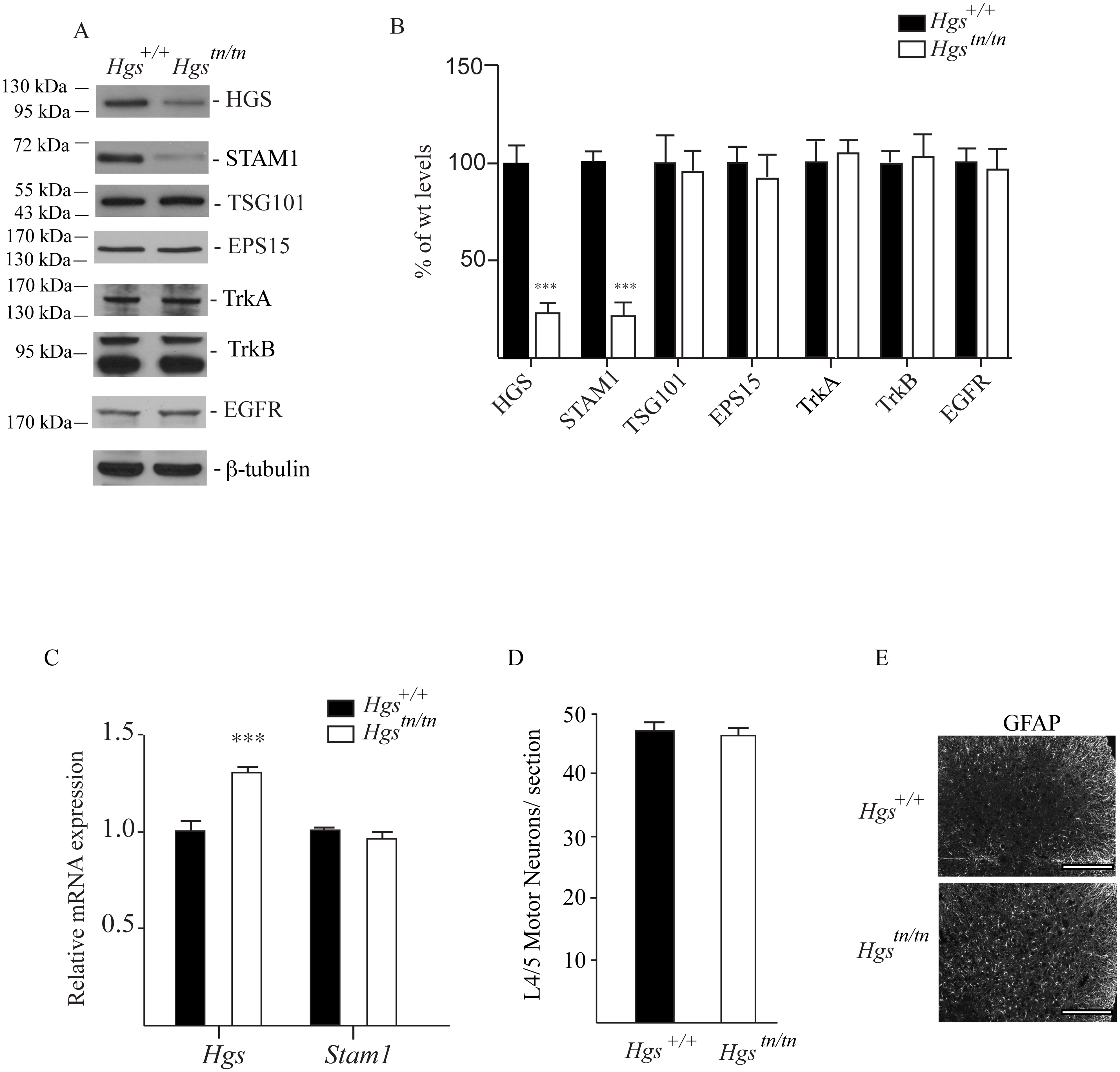 Levels of HGS-interacting proteins and putative substrates in spinal cord extracts of 4-week-old <i>Hgs</i><sup><i>+/+</i></sup> and <i>Hgs</i><sup><i>tn/tn</i></sup> mice.