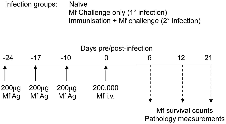 Mouse infection regimen.