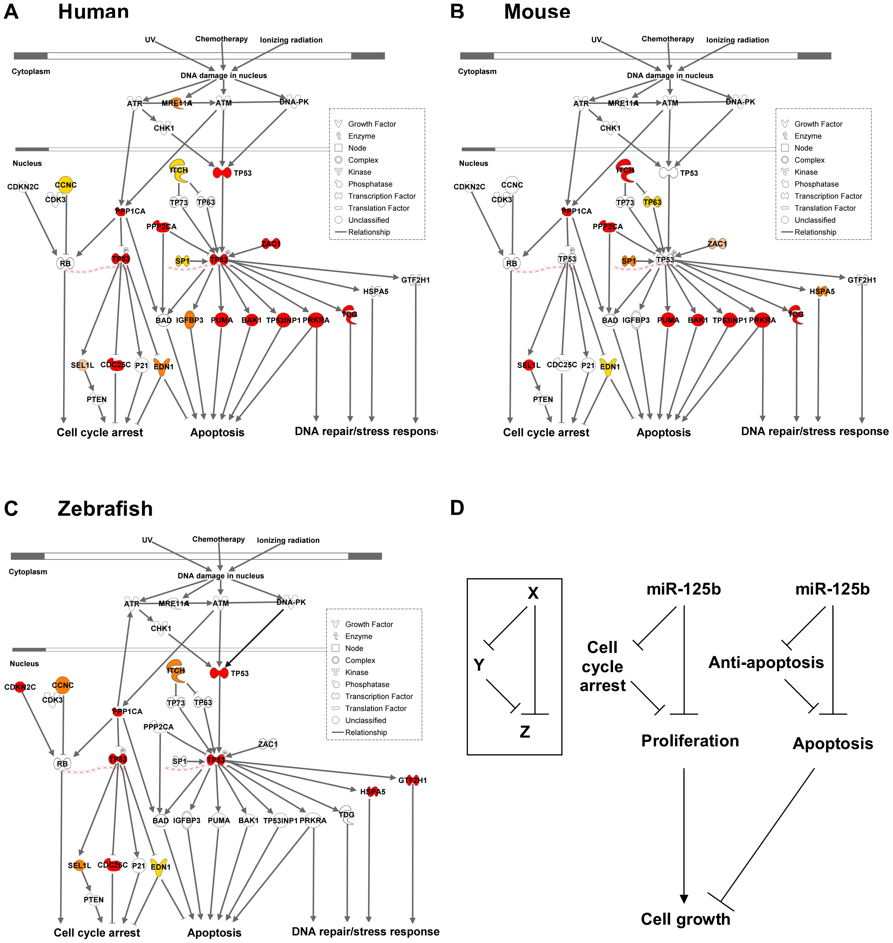 Models of miR-125b regulation of p53 networks in humans, mice, and zebrafish.