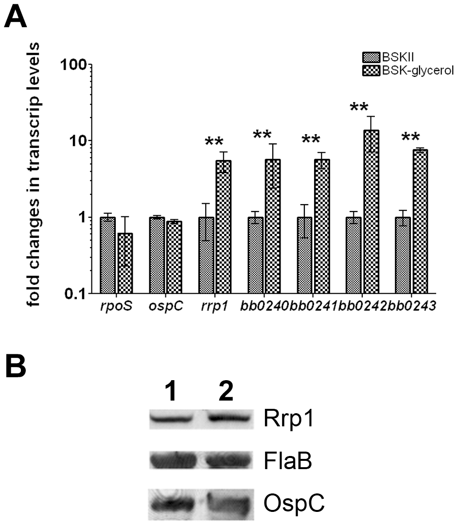 Glycerol induces expression of <i>rrp1</i> and <i>bb0240-bb0243</i>.