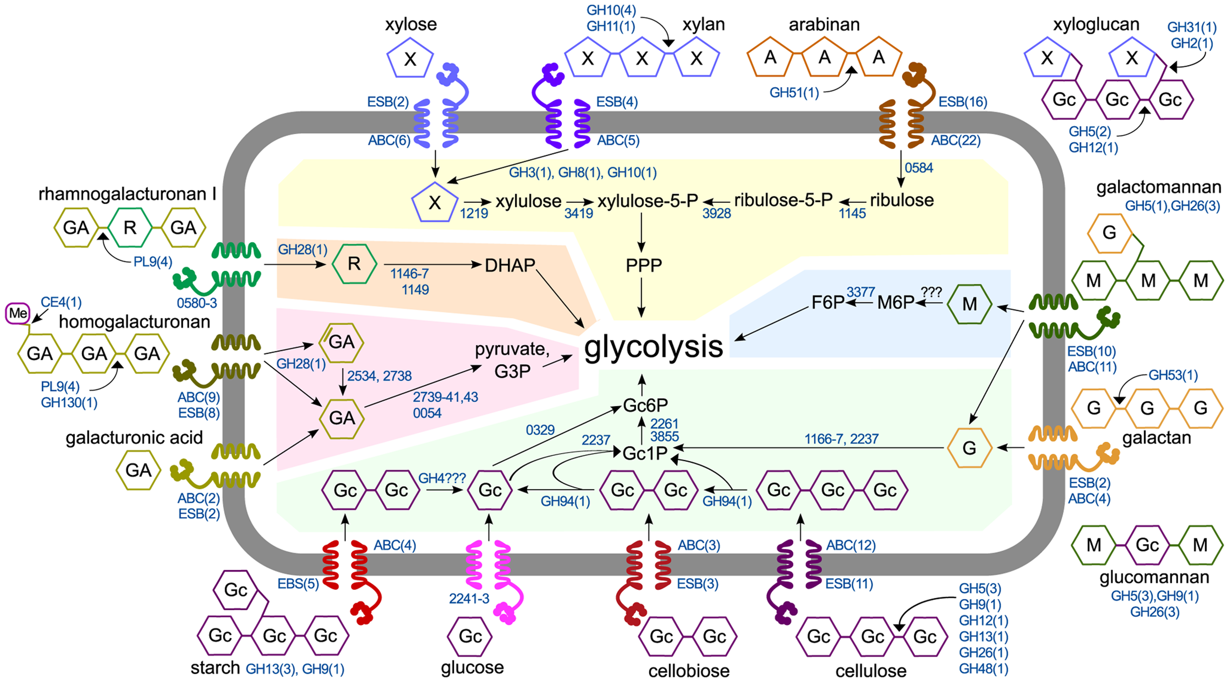 Model of polysaccharide degradation and metabolism by <i>C. phytofermentans</i>. CAZymes (shown as the number of enzymes in CAZy families) are based on purified activities and are intra- or extracellular based on putative secretion signals.