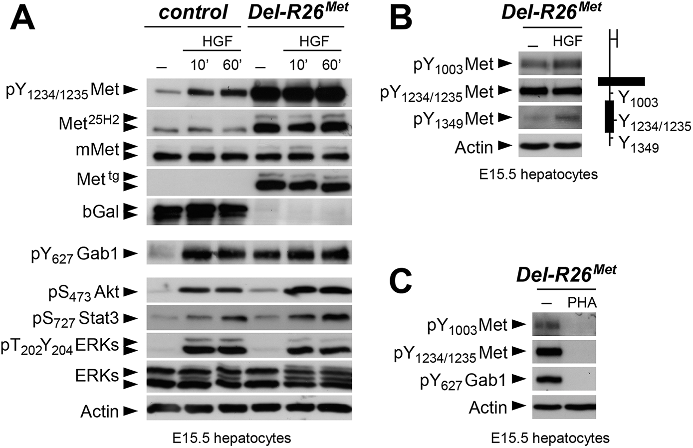 Biochemical analyses in embryonic hepatocytes show restriction of enhanced Met signalling at distinct levels.
