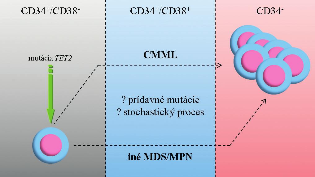 Zjednodušený model vzniku CMML a progresie do AML.