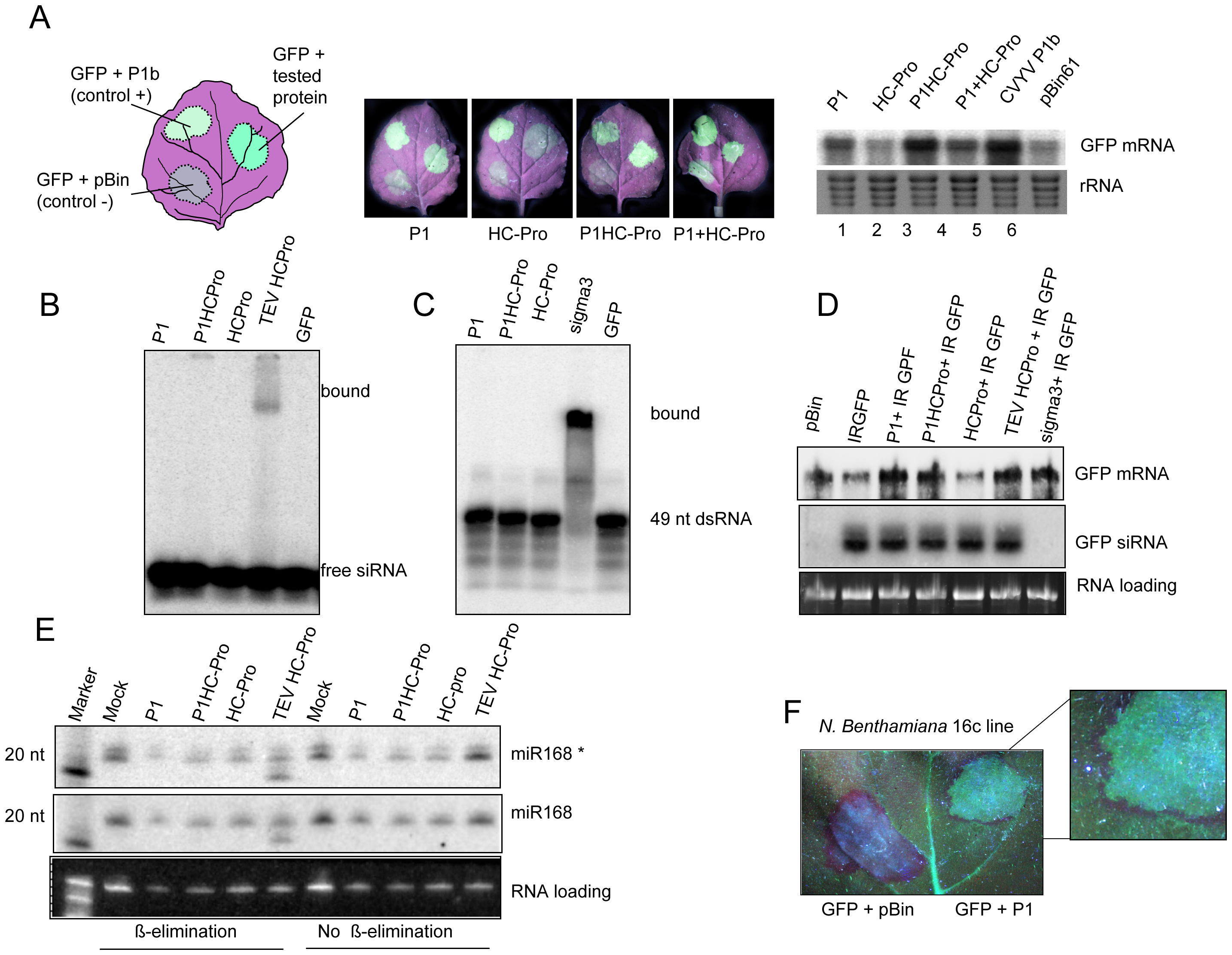SPMMV P1 suppresses RNA silencing by mechanisms that diverge from other viral suppressors.