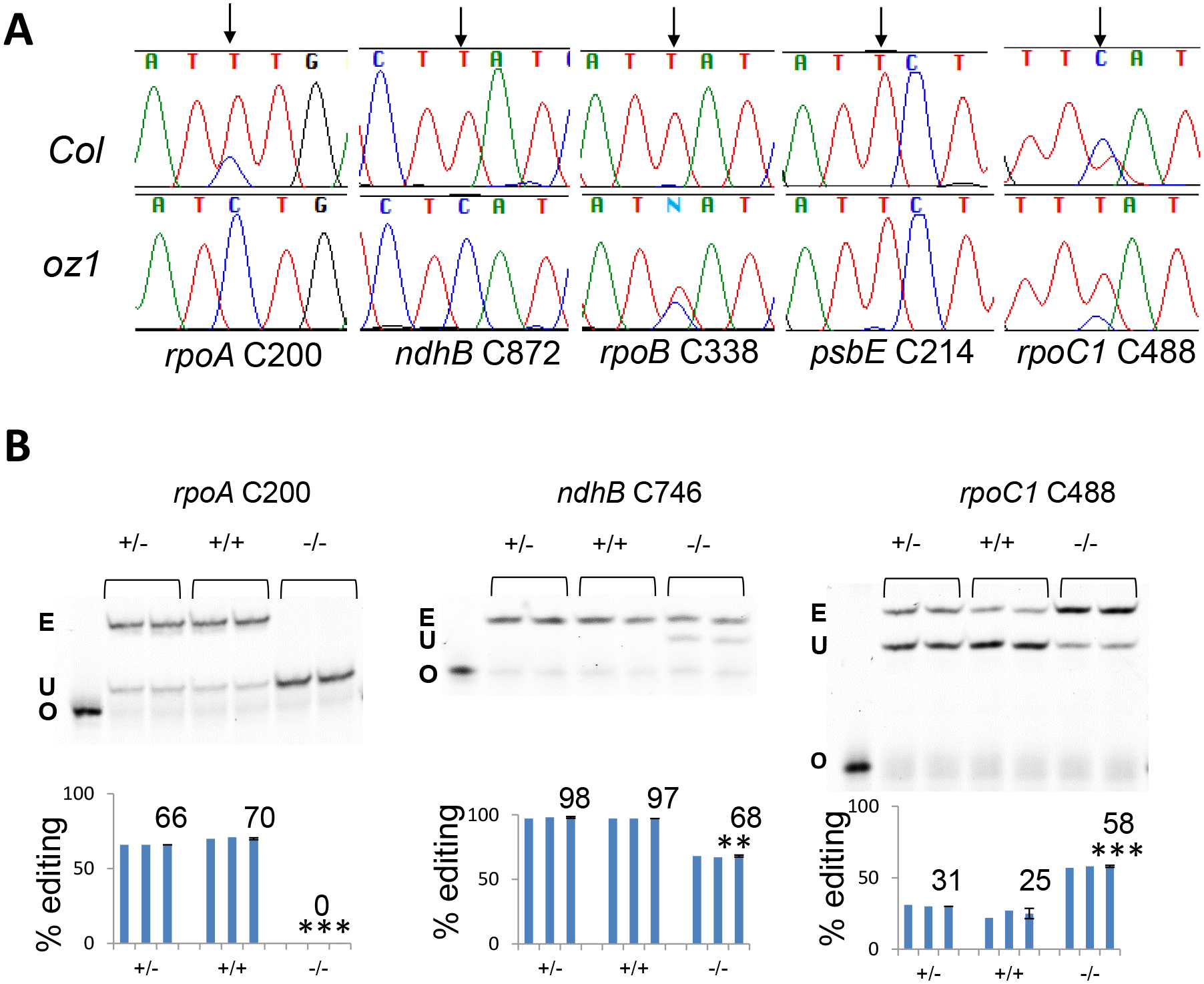 RNA editing at multiple plastid sites is affected in <i>oz1</i>.
