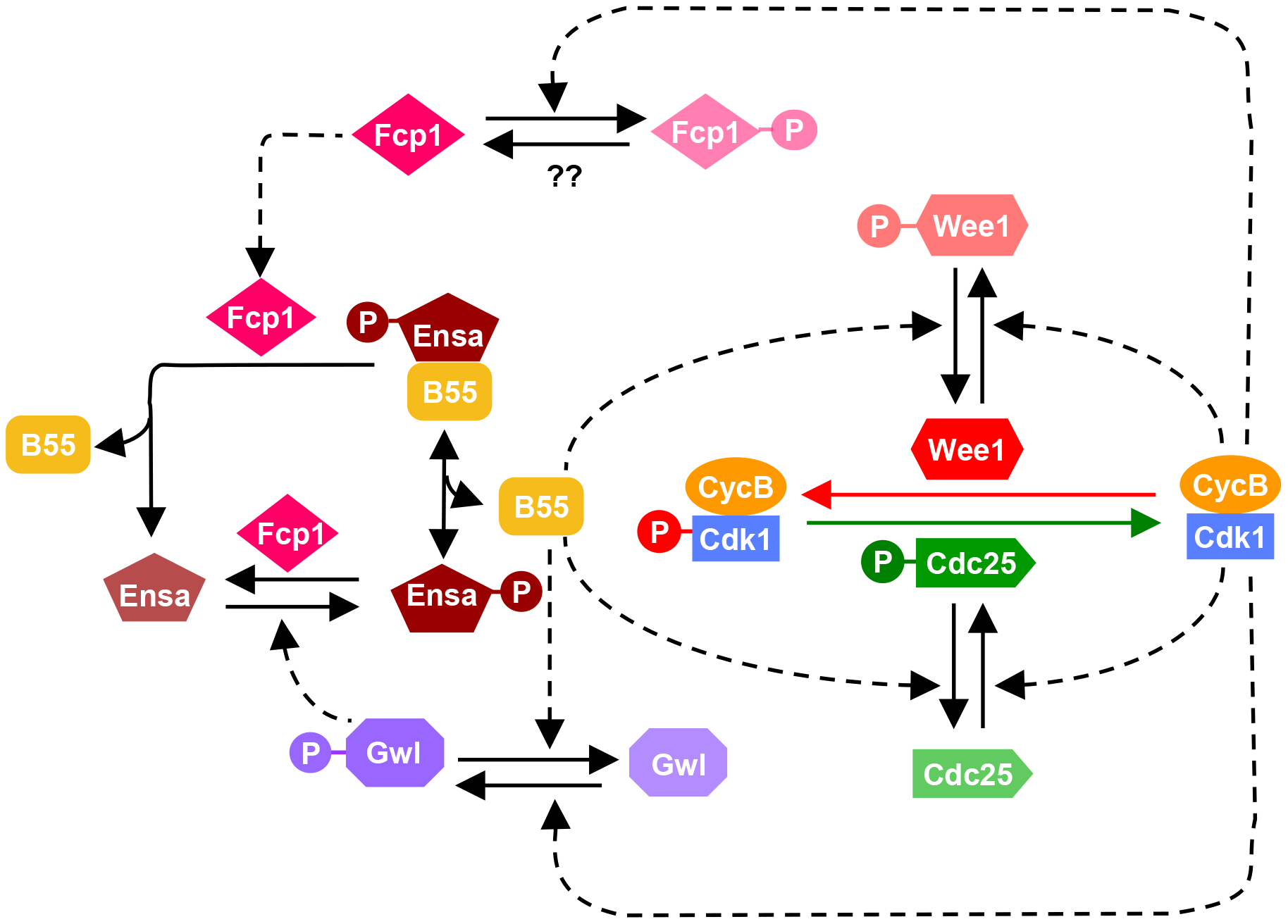 Revised model of the Cdk1 activation loop.