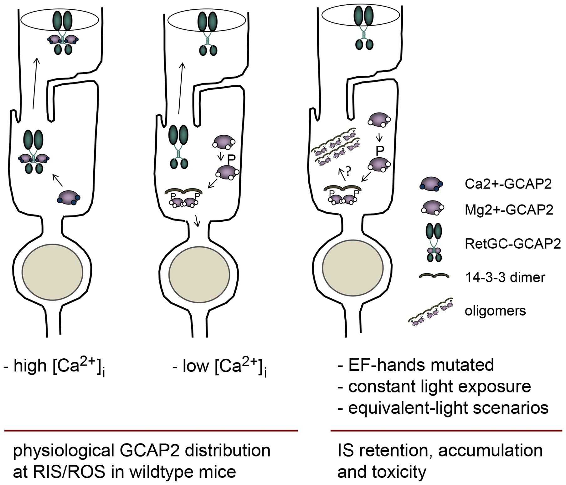 Model depicting a mechanism regulating GCAP2 distribution in rods involving GCAP2 phosphorylation and 14-3-3 binding.