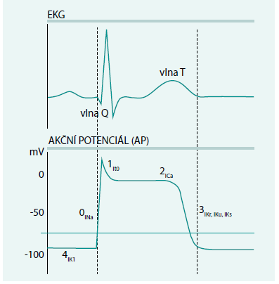 Graf. EKG a komorový akční potenciál s vyznačením jednotlivých fází a označení hlavních iontových proudů, které se v jednotlivých fázích uplatňují