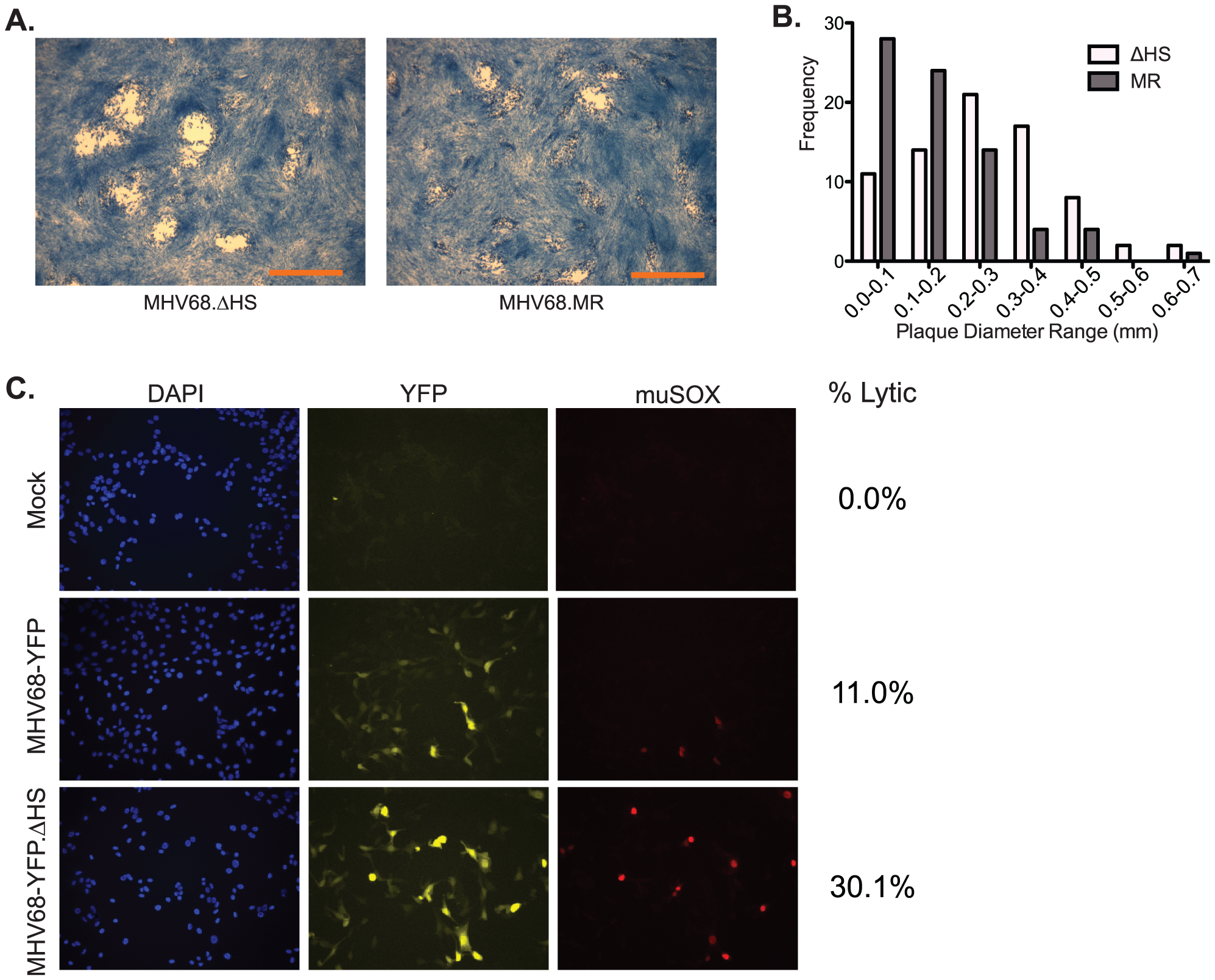 MHV68.ΔHS generates larger plaques and increases the percentage of lytic antigen-expressing cells.