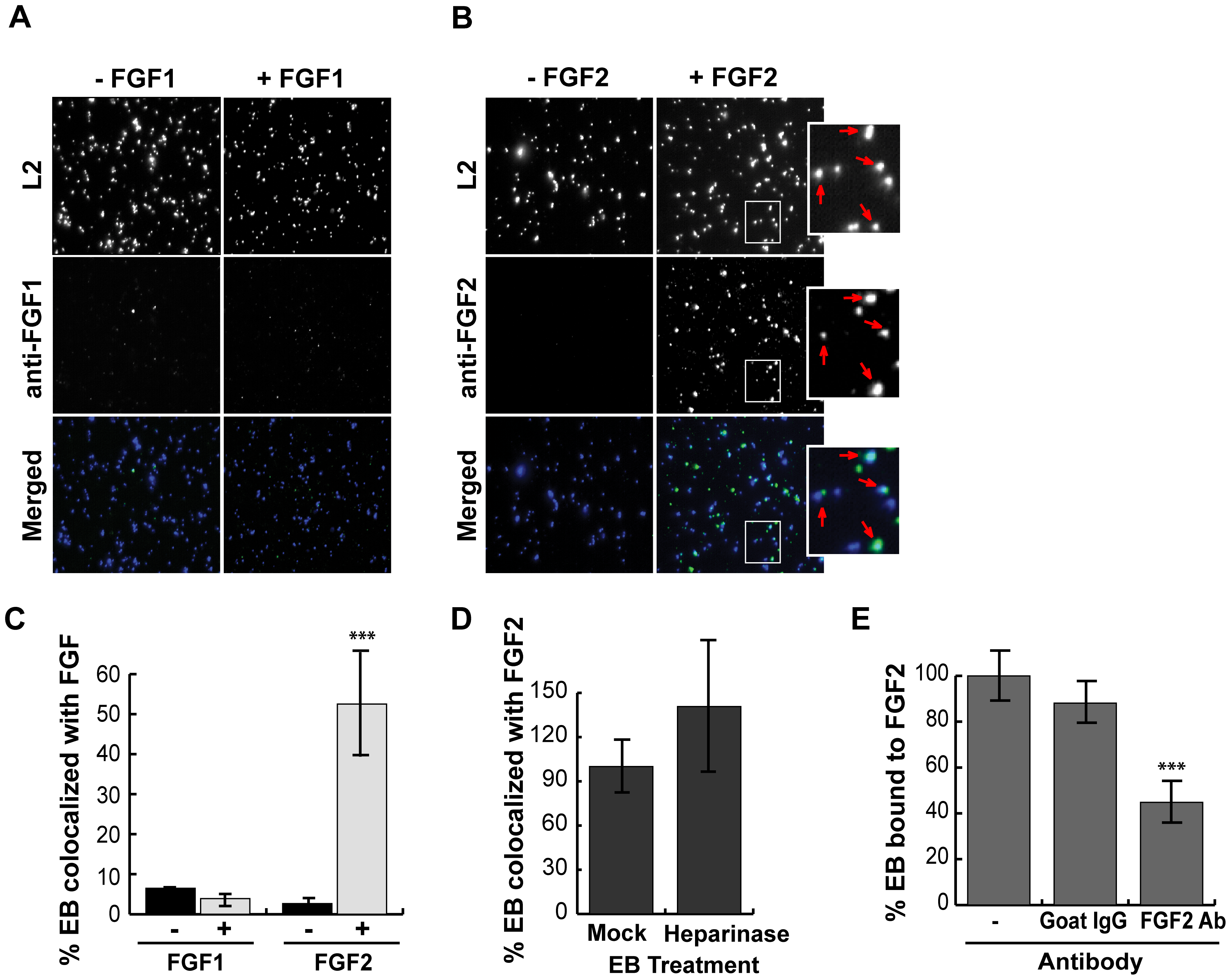 FGF2 binds to renograffin-purified <i>C. trachomatis</i> L2 EBs.