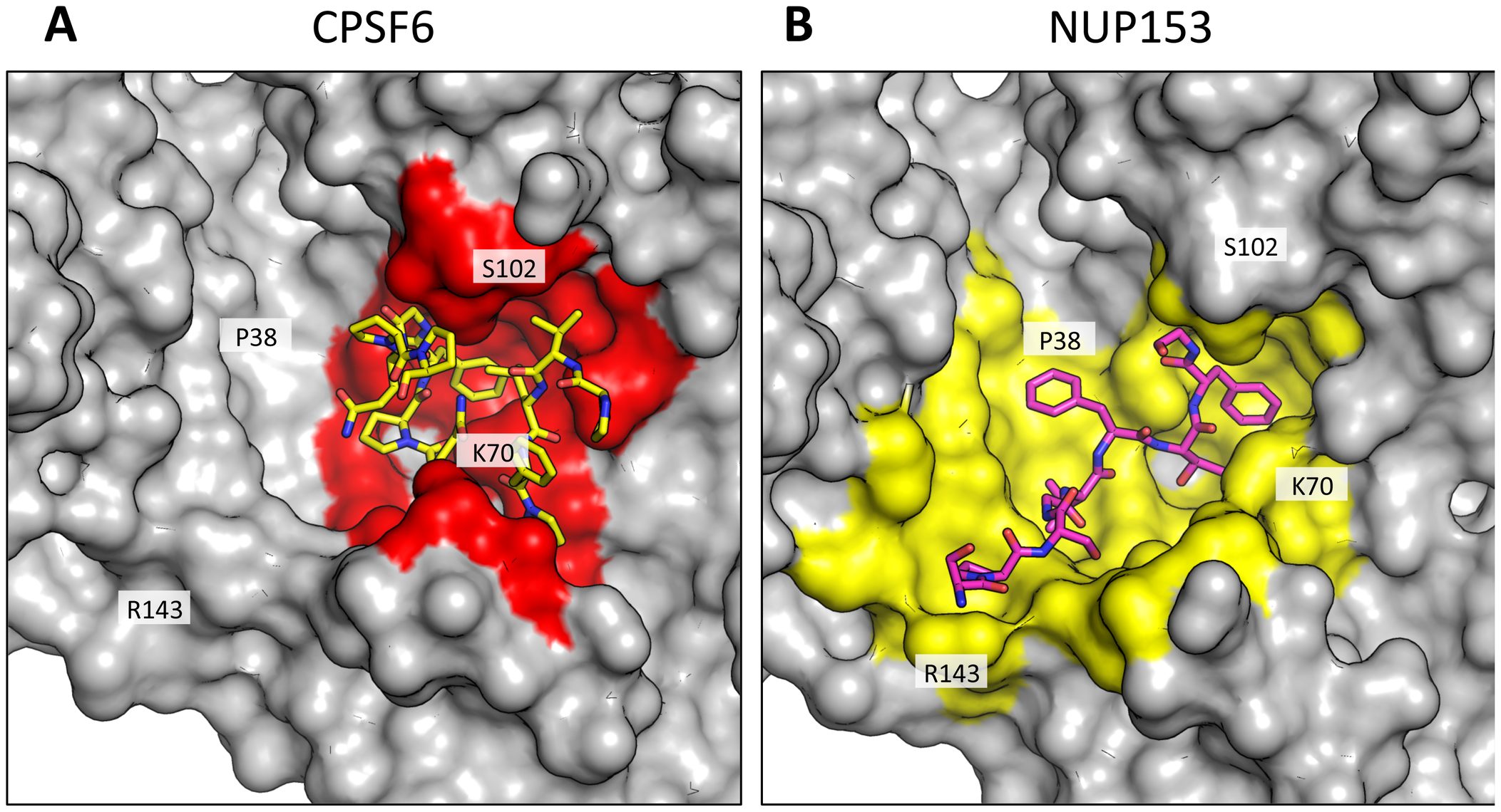 CPSF6 and NUP153 interact with distinct sets of CA residues within the hexamer interface.