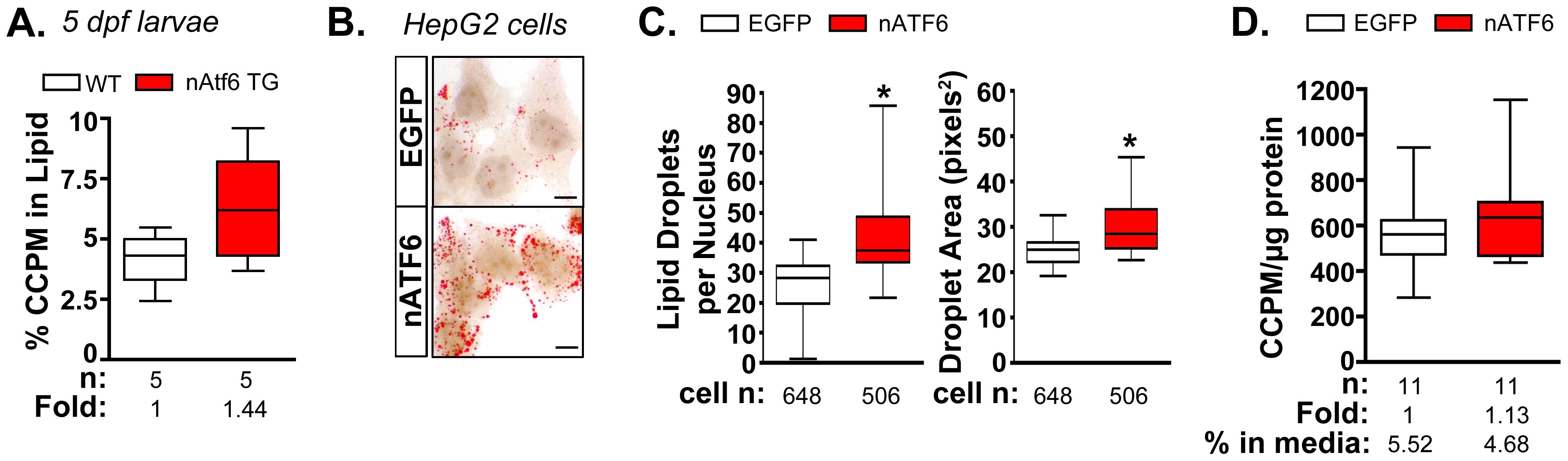 <i>De novo</i> lipogenesis is enhanced <i>in vitro</i> and <i>in vivo</i> by nAtf6 overexpression.