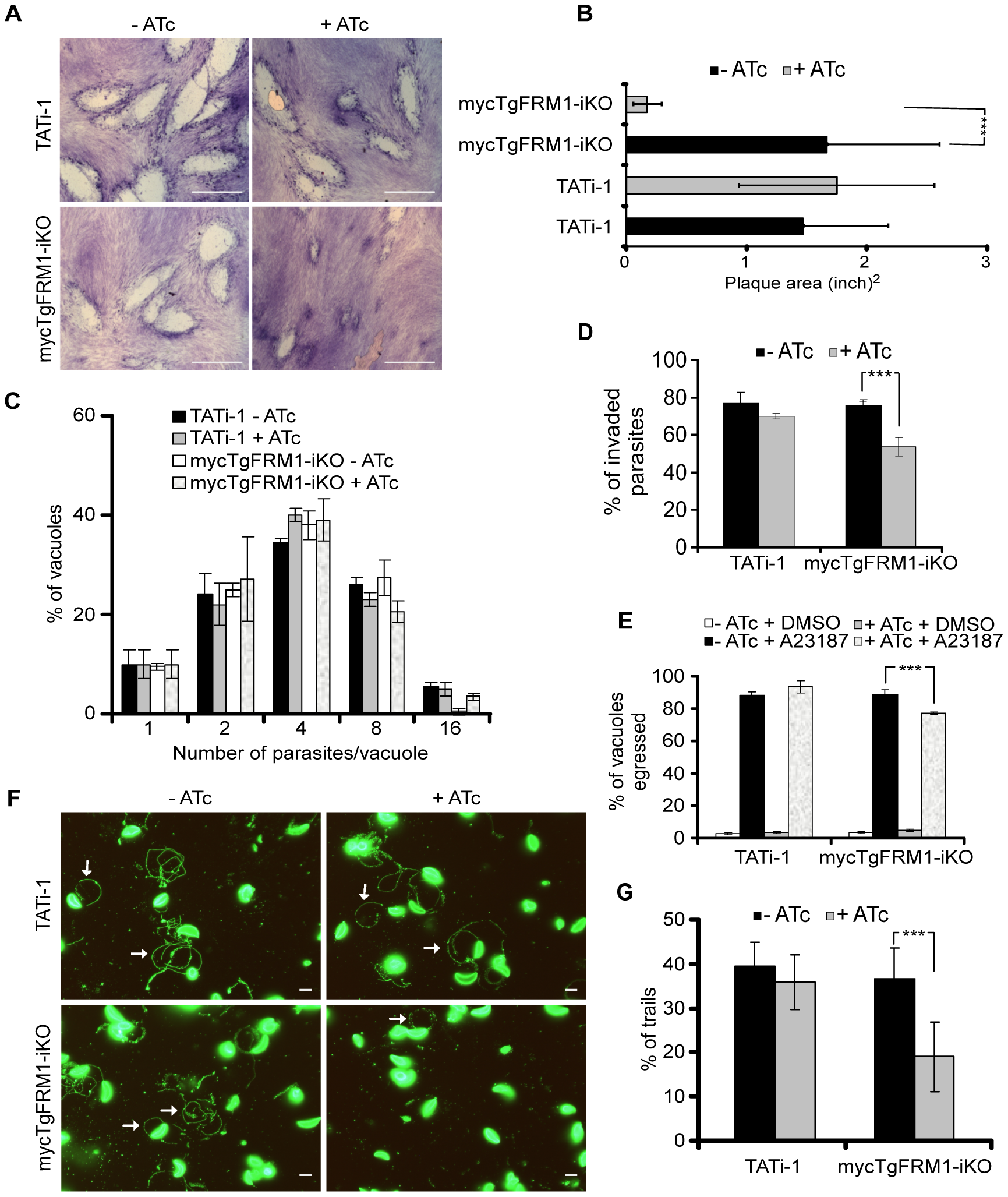 Phenotypic consequences of mycTgFRM1i depletion in mycTgFRM1-iKO.