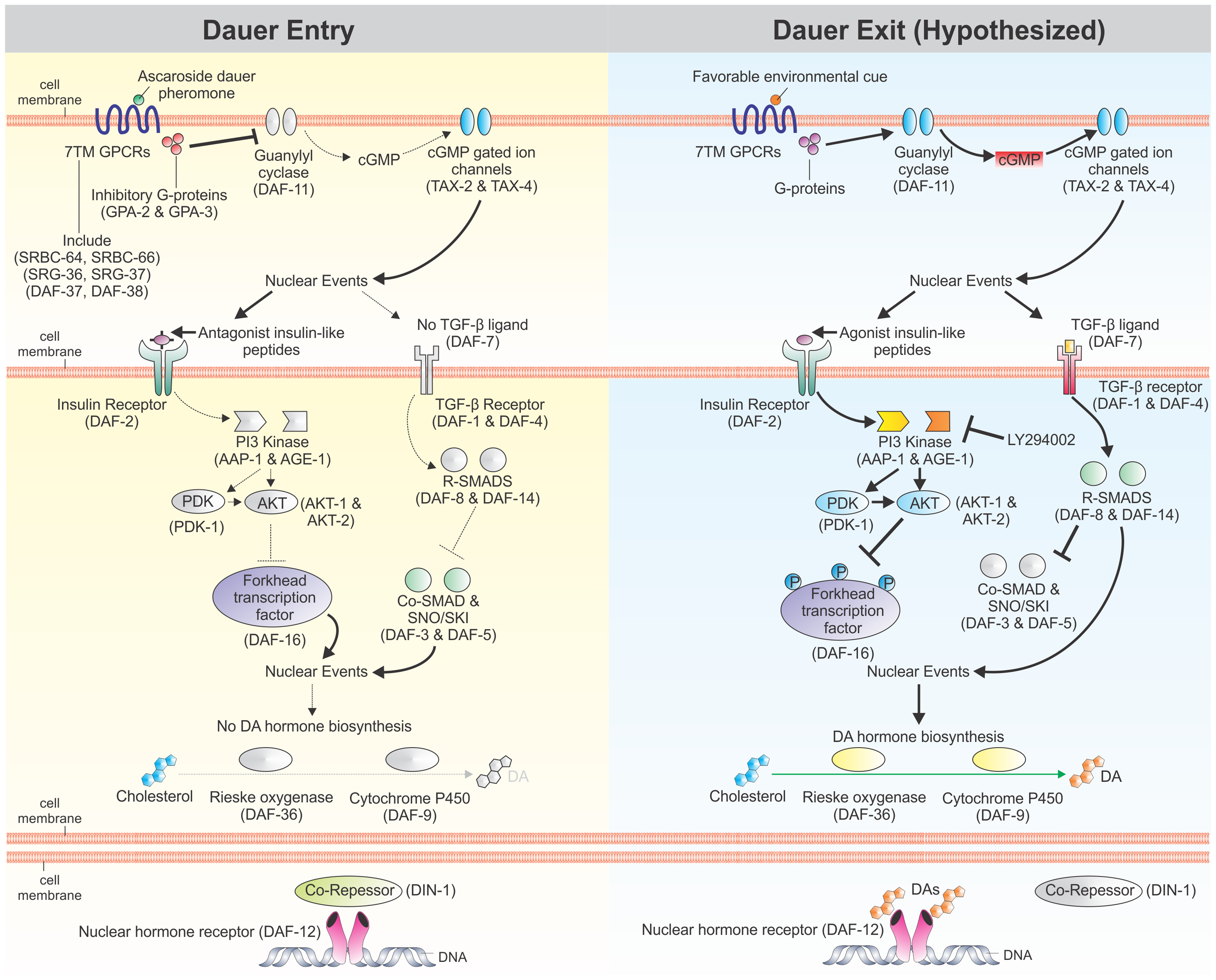 Regulation of <i>C. elegans</i> dauer development by cellular signaling pathways.