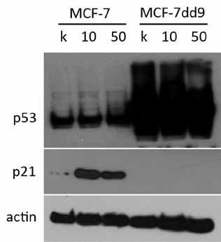 Indukcia p21 po ovplyvnení 10 a 50 nM NVP-AUY922 po dobu 24 hod. U parentálnej línie MCF-7 bol po ovplyvnení NVP-AUY922 pozorovaný výrazný nárast hladiny p21 oproti kontrole, čo vysvetľuje indukciu G1 bloku po inhibícii HSP90. U línie MCF-7dd9 s mutovanou p53 nebol pozorovaný nárast expresie p21, čo naznačuje, že zmena jeho hladiny po inhibícii HSP90 je p53 závislá.
