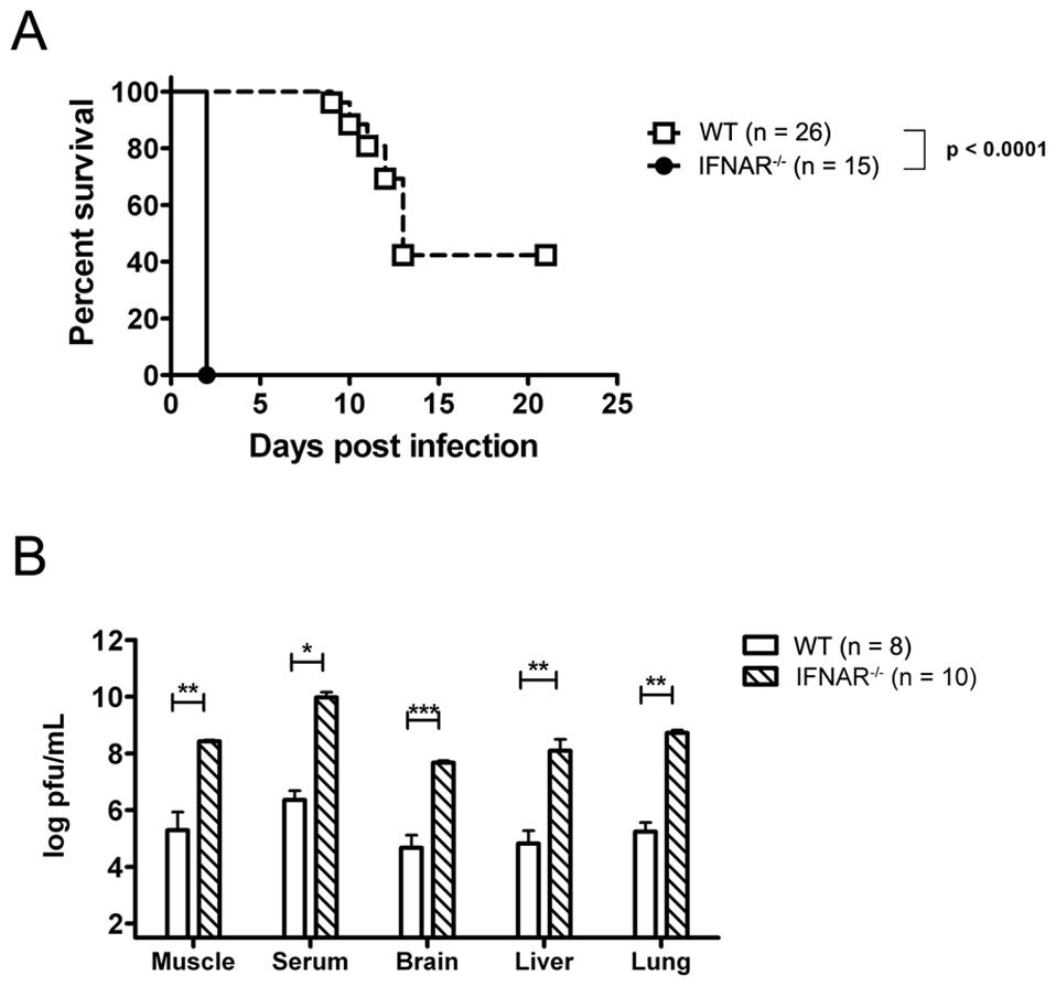 Endogenous Type I IFN is required for the control of neonatal CHIKV infection.