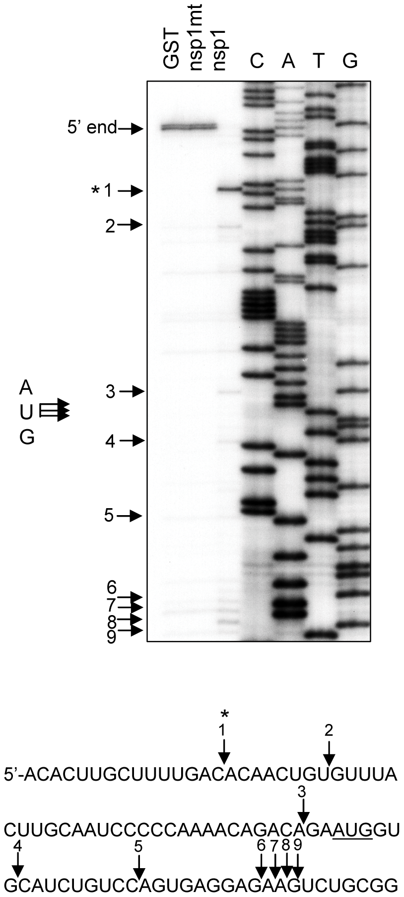 Characterization of nsp1-induced RNA modification in rabbit β-globin mRNA.