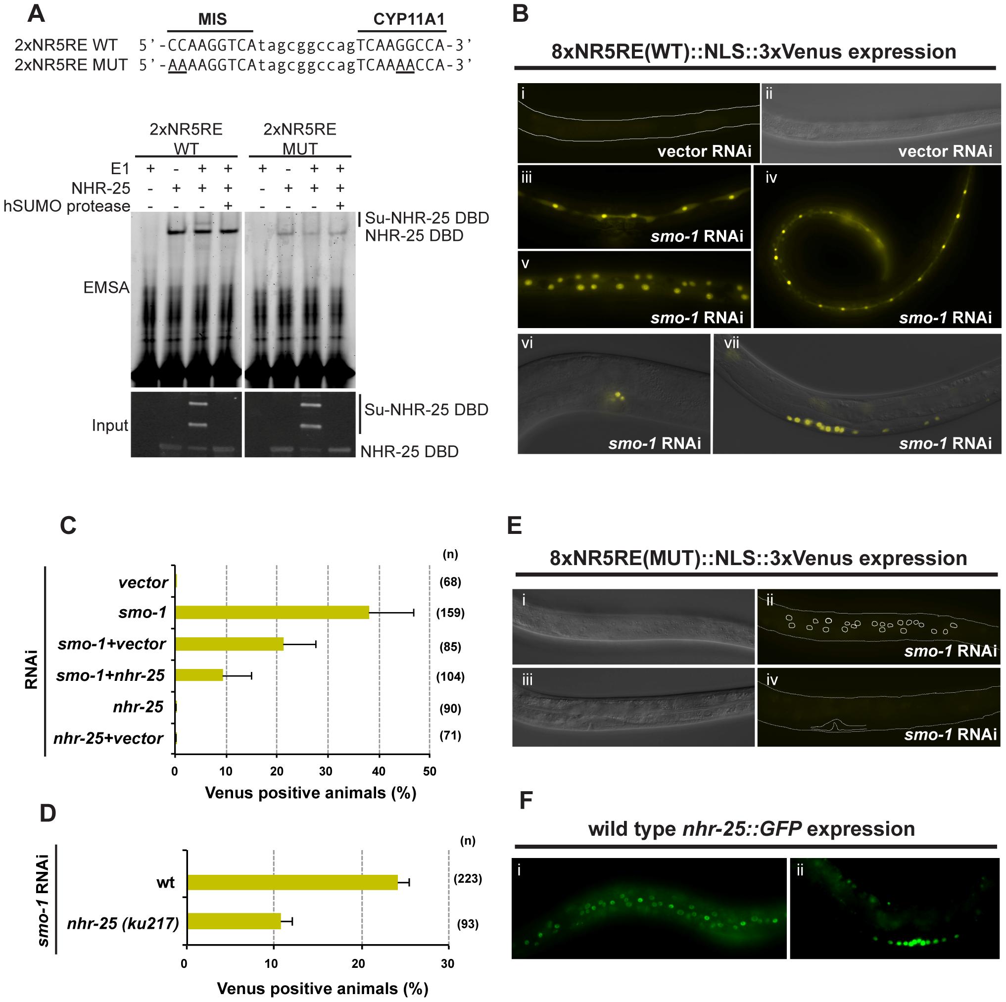 Sumoylation inhibits NHR-25-dependent transcription <i>in vivo</i>.