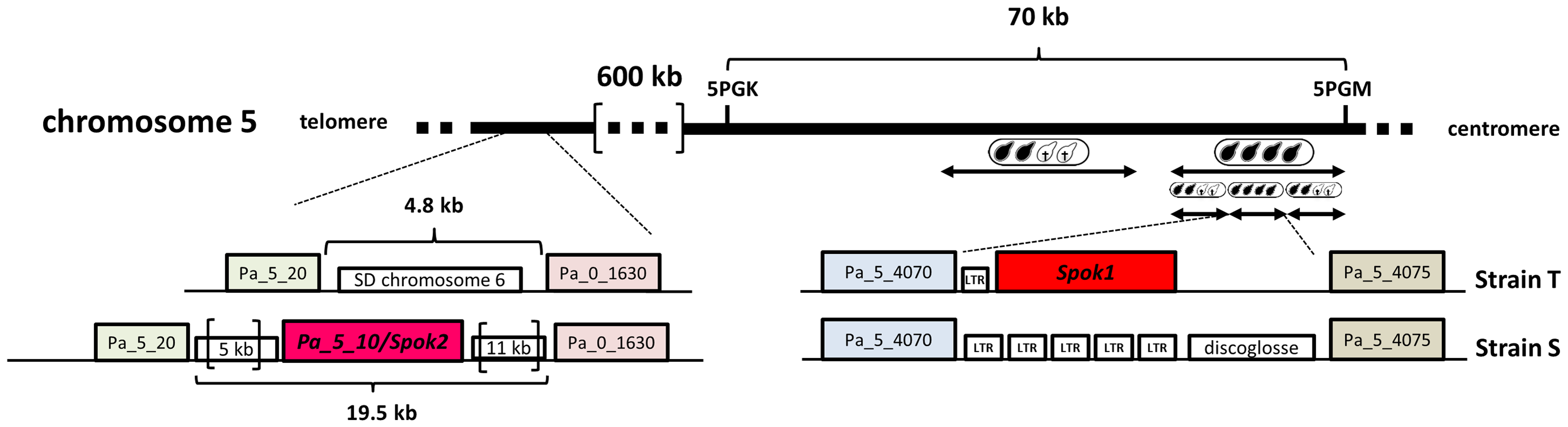 <i>Spok1</i> and <i>Spok2</i> DNA regions.
