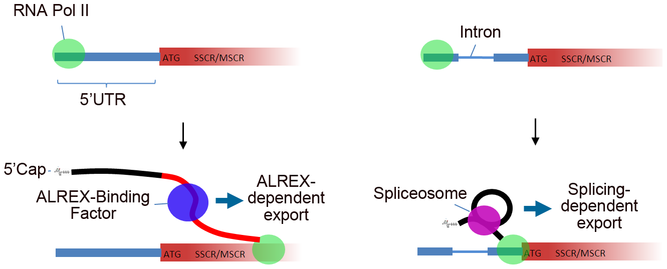 Model describing 5′UTR intron effects on nuclear mRNA export by genes with SSCR/MSCRs.