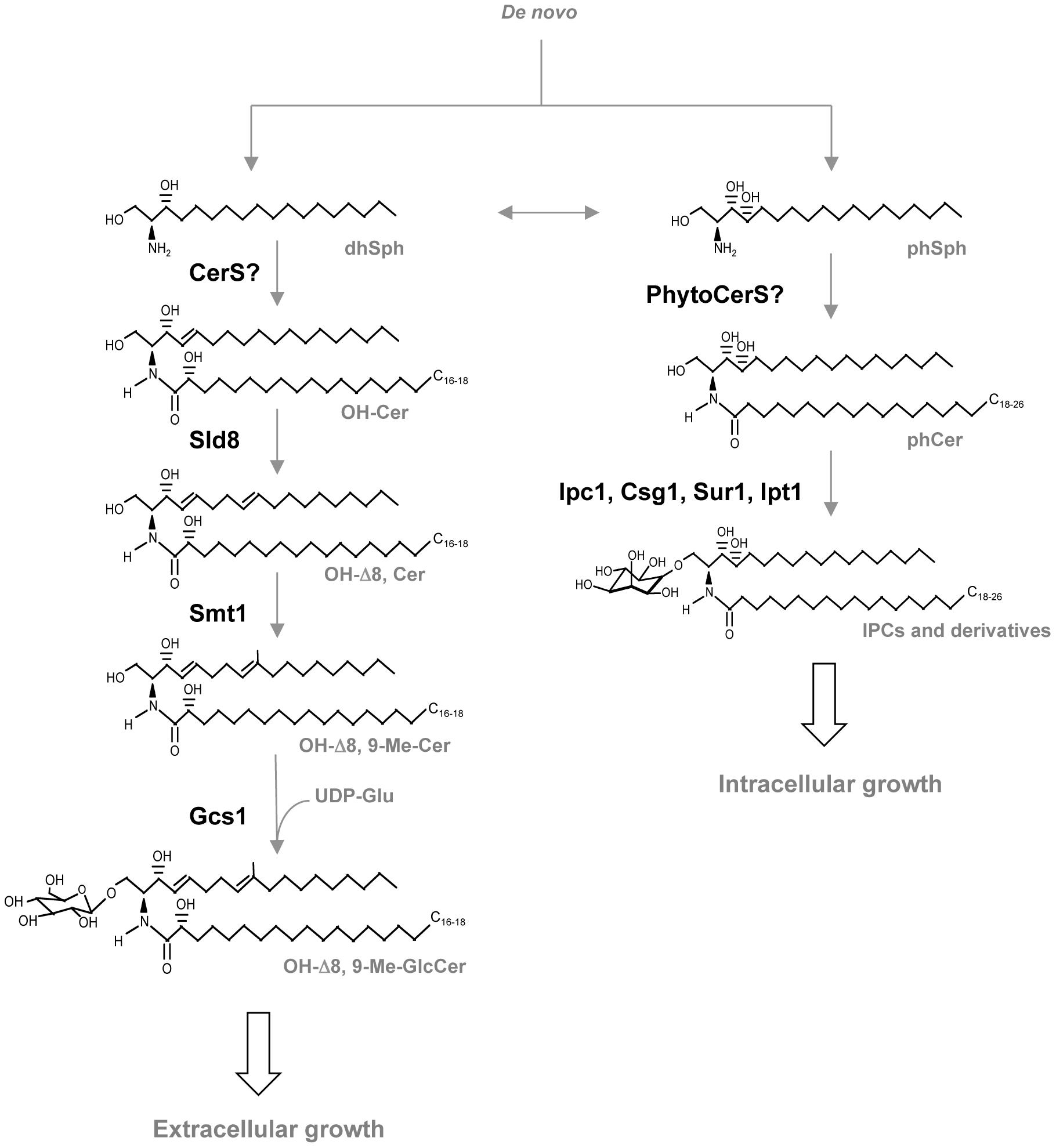 Glycosphingolipid pathway in fungi.