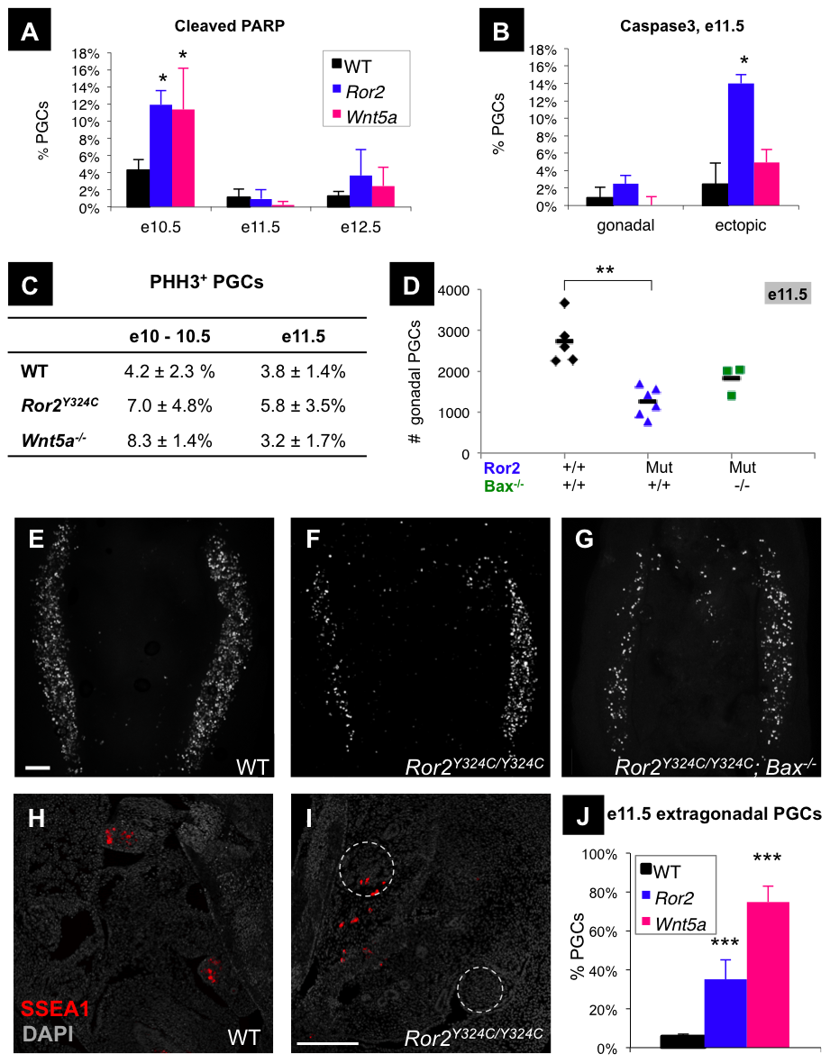 Increased PGC apoptosis and impaired colonization of the gonads in <i>Ror2</i> and <i>Wnt5a</i> mutants.