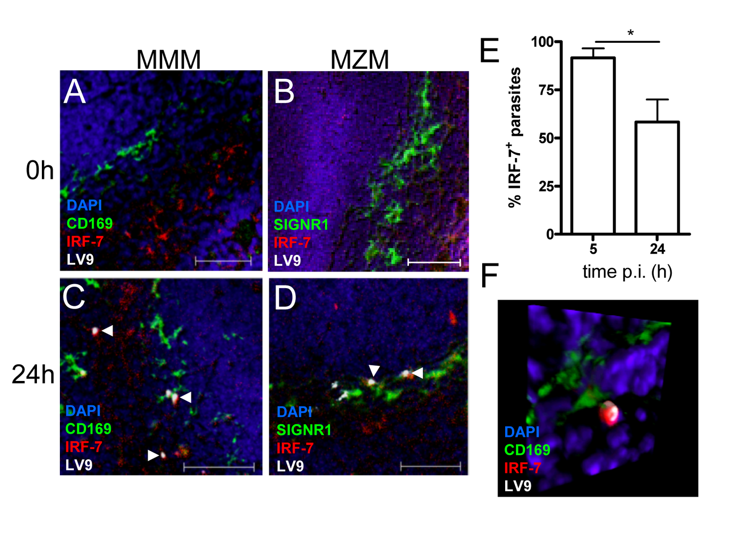 IRF-7 is induced in MZM and MM in situ.