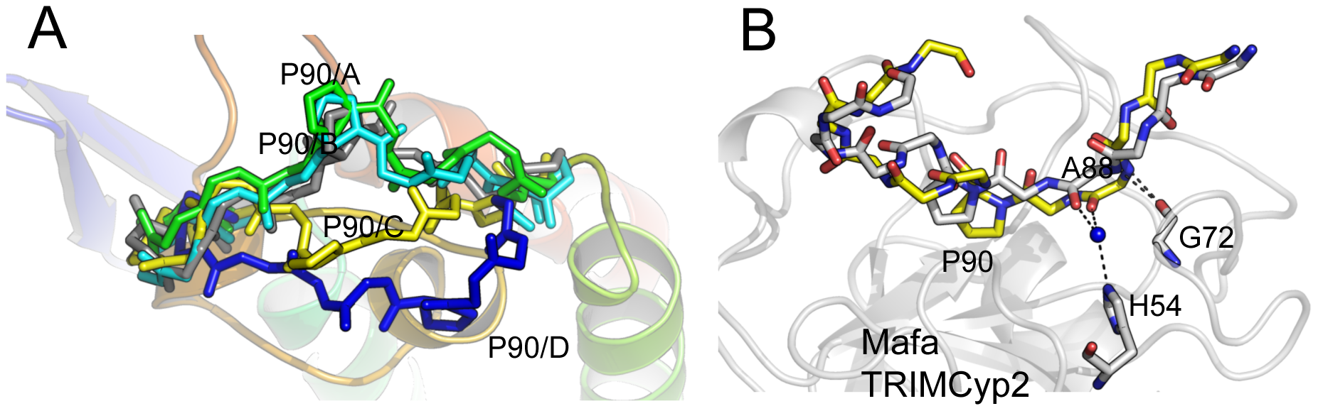 CypA-binding loop conformations in the HIV2 +A88 capsid structure.