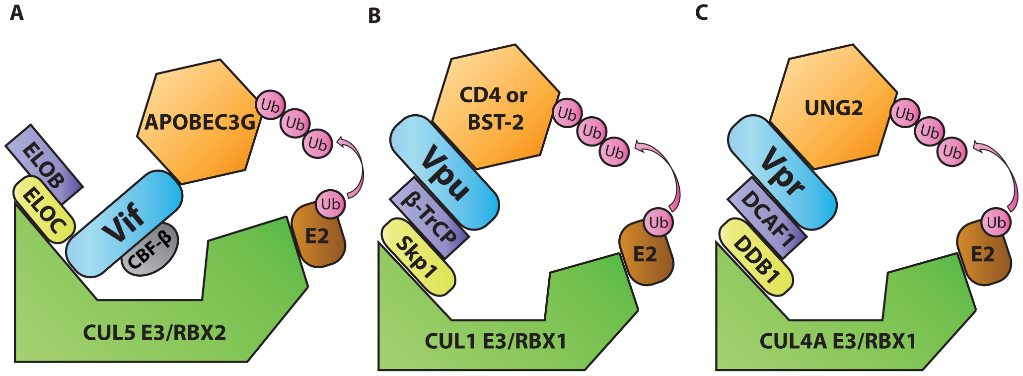 Diagrammatic representations of HIV-1 Vif, Vpu, and Vpr functioning as adaptors of substrate adaptors in cellular ubiquitination pathways.